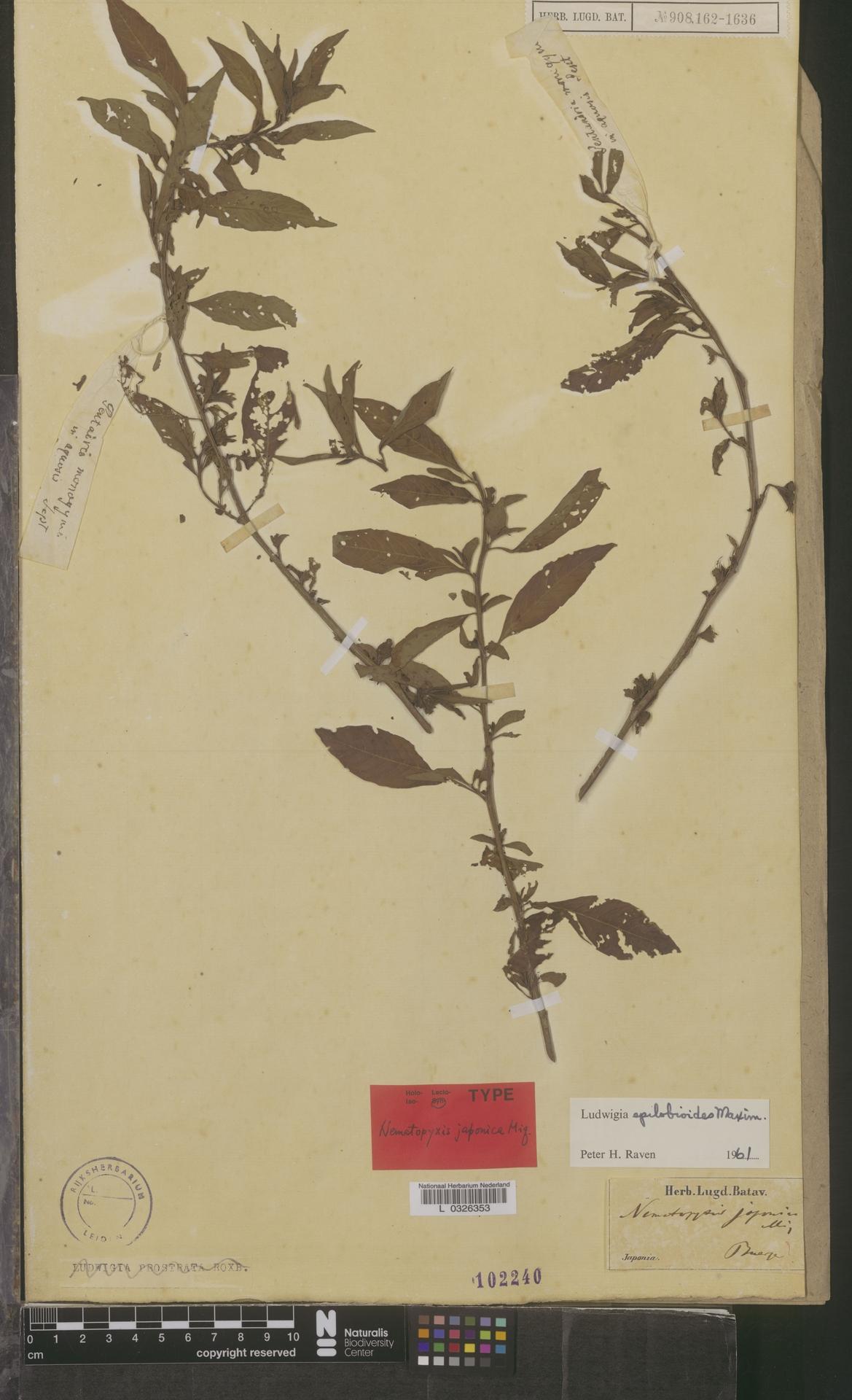 L  0326353 | Ludwigia epilobioides Maxim.