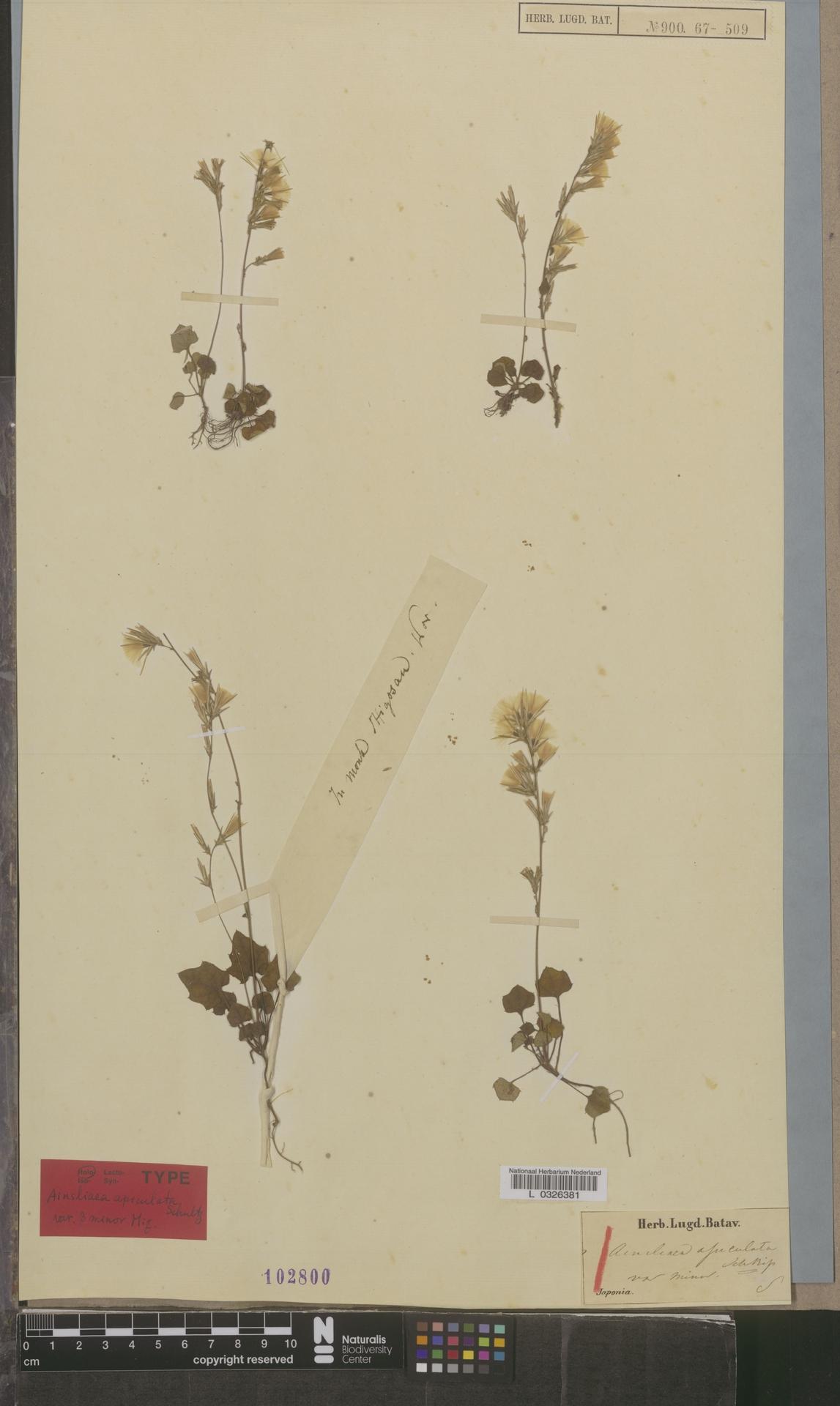 L  0326381 | Ainsliaea apiculata var. minor