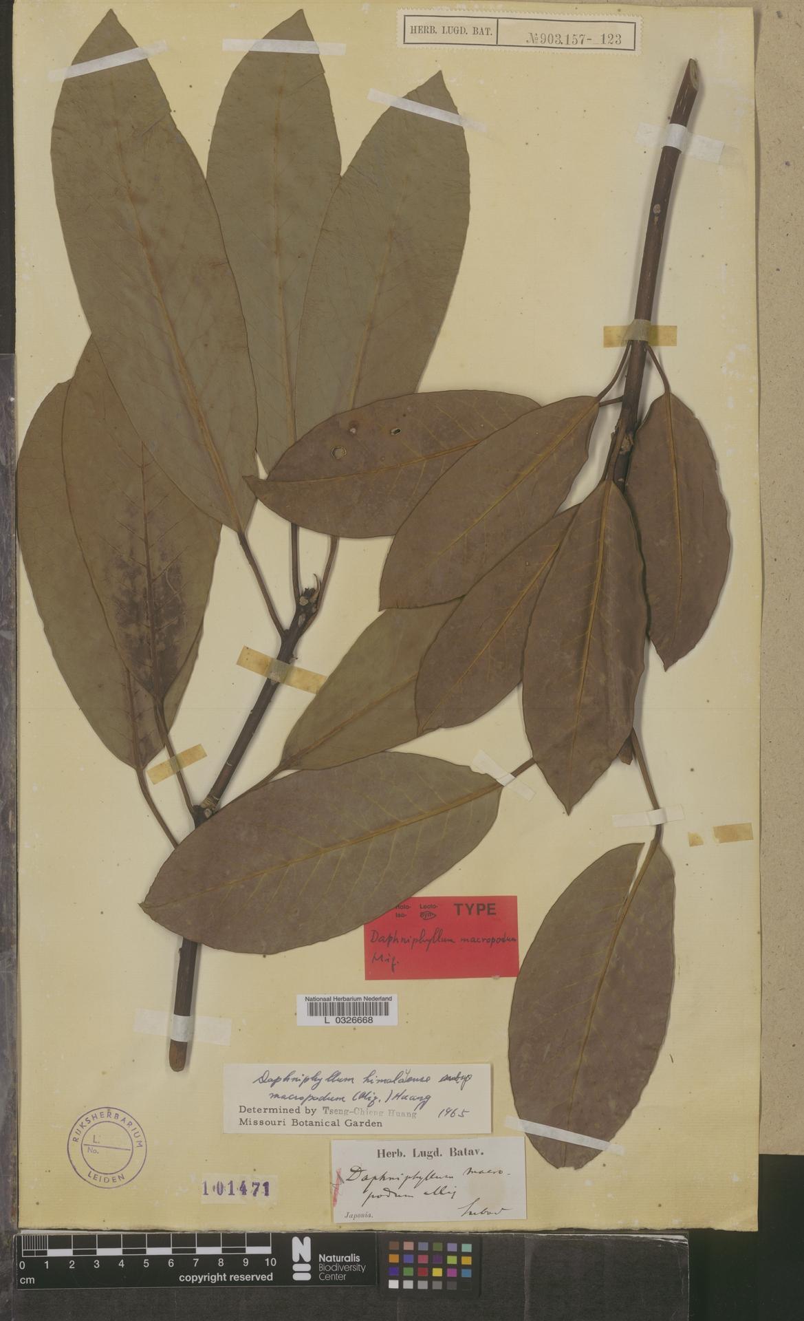 L  0326668   Daphniphyllum himalayense subsp. macropodum (Miq.) T.C.Huang