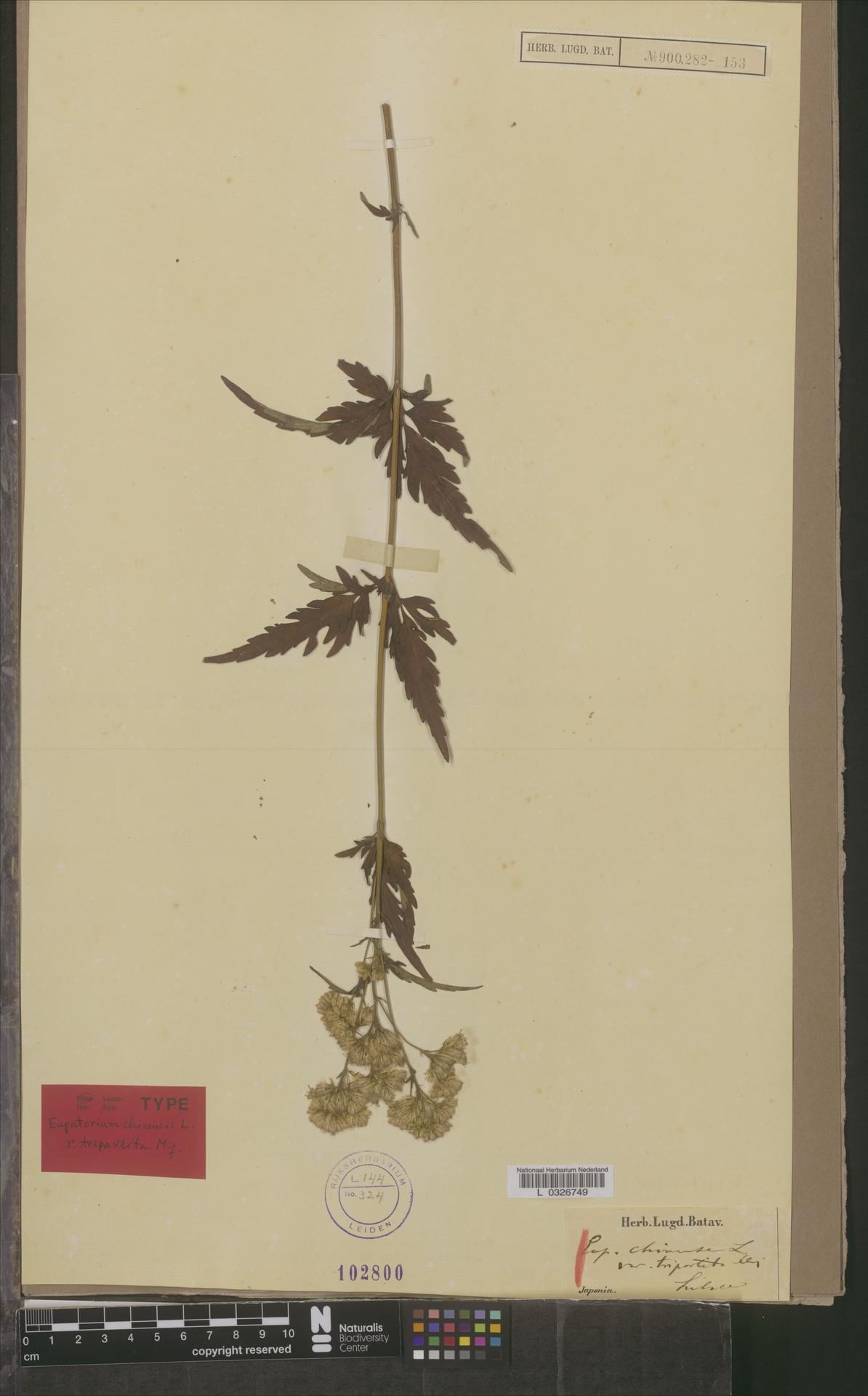 L  0326749 | Eupatorium chinense var. tripartita Miq.