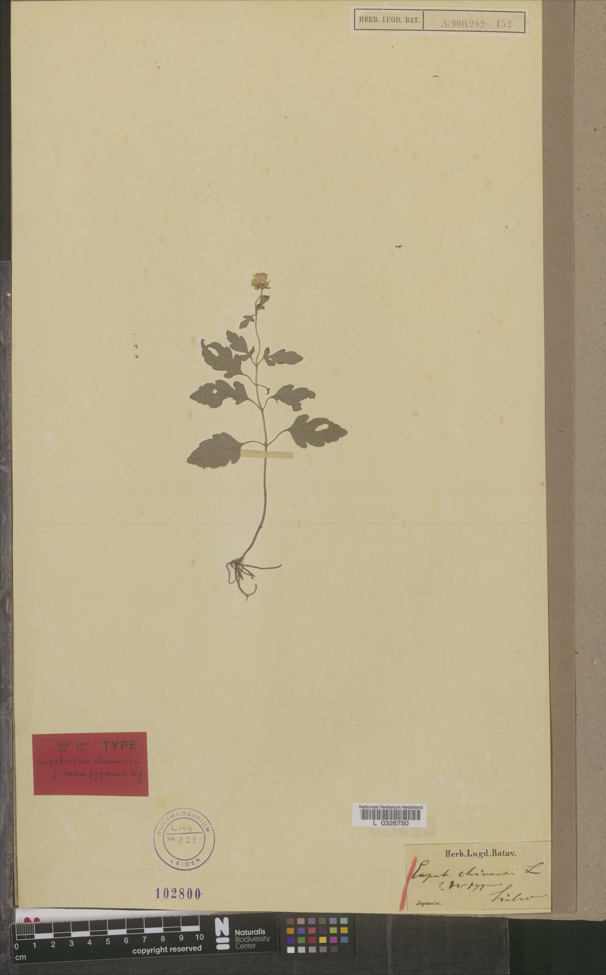 L  0326750 | Eupatorium chinense var. pygmaea