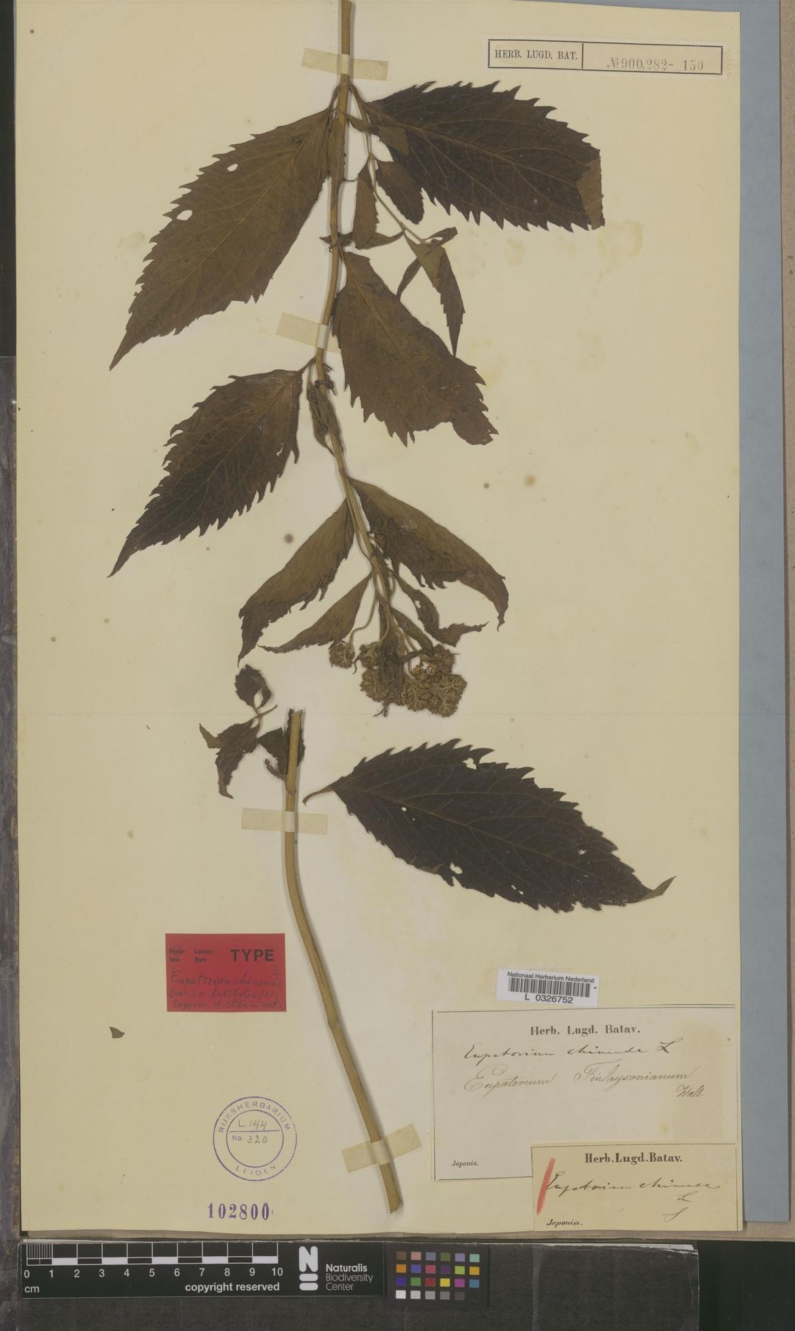L  0326752   Eupatorium chinense L.