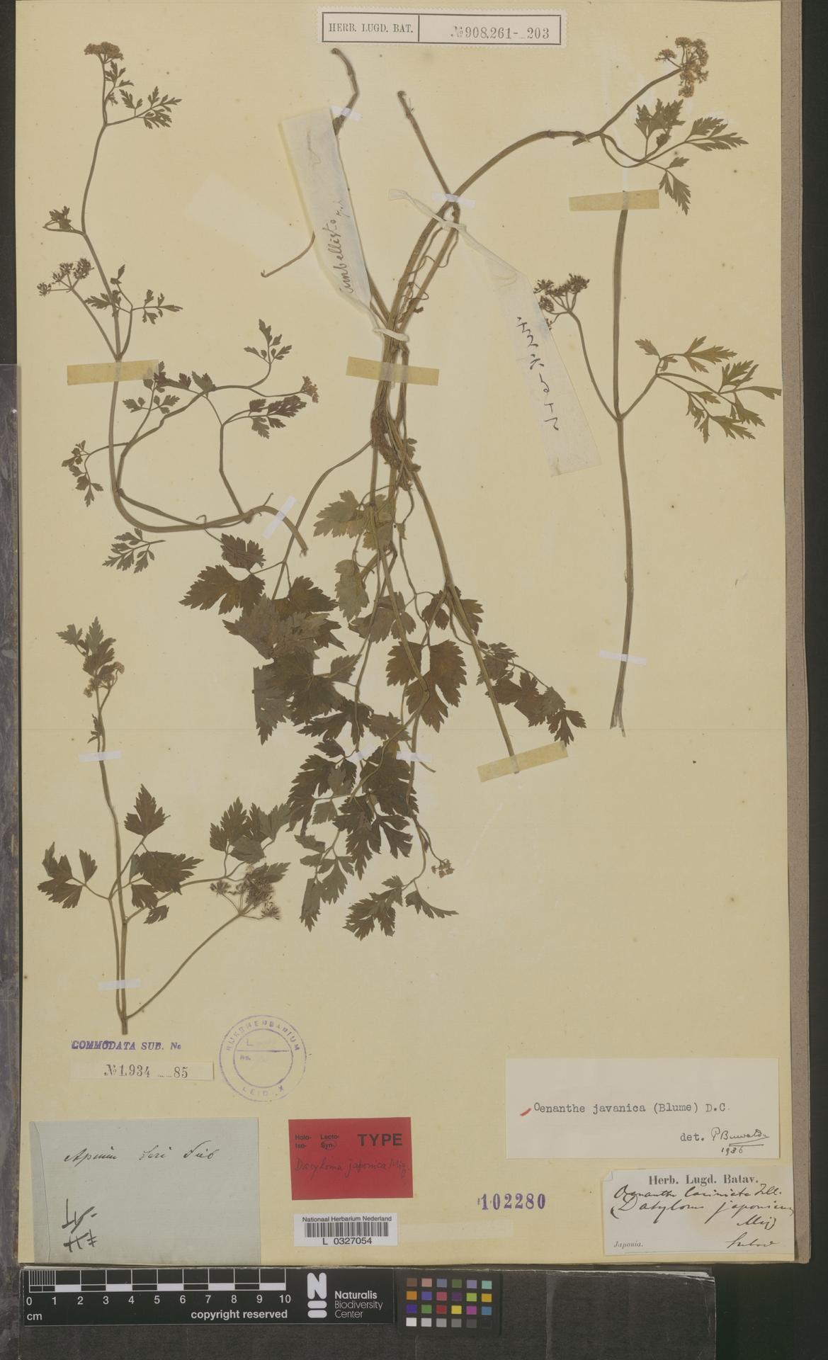 L  0327054 | Oenanthe javanica (Blume) DC.