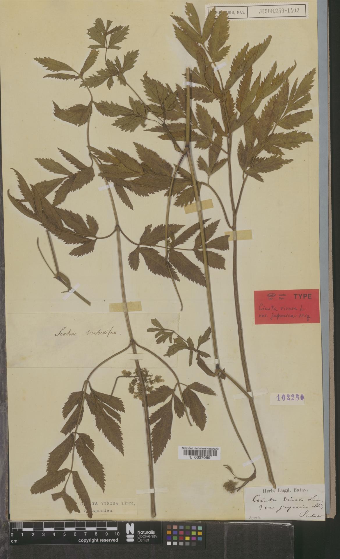 L  0327069 | Cicuta virosa var. japonica Miq.