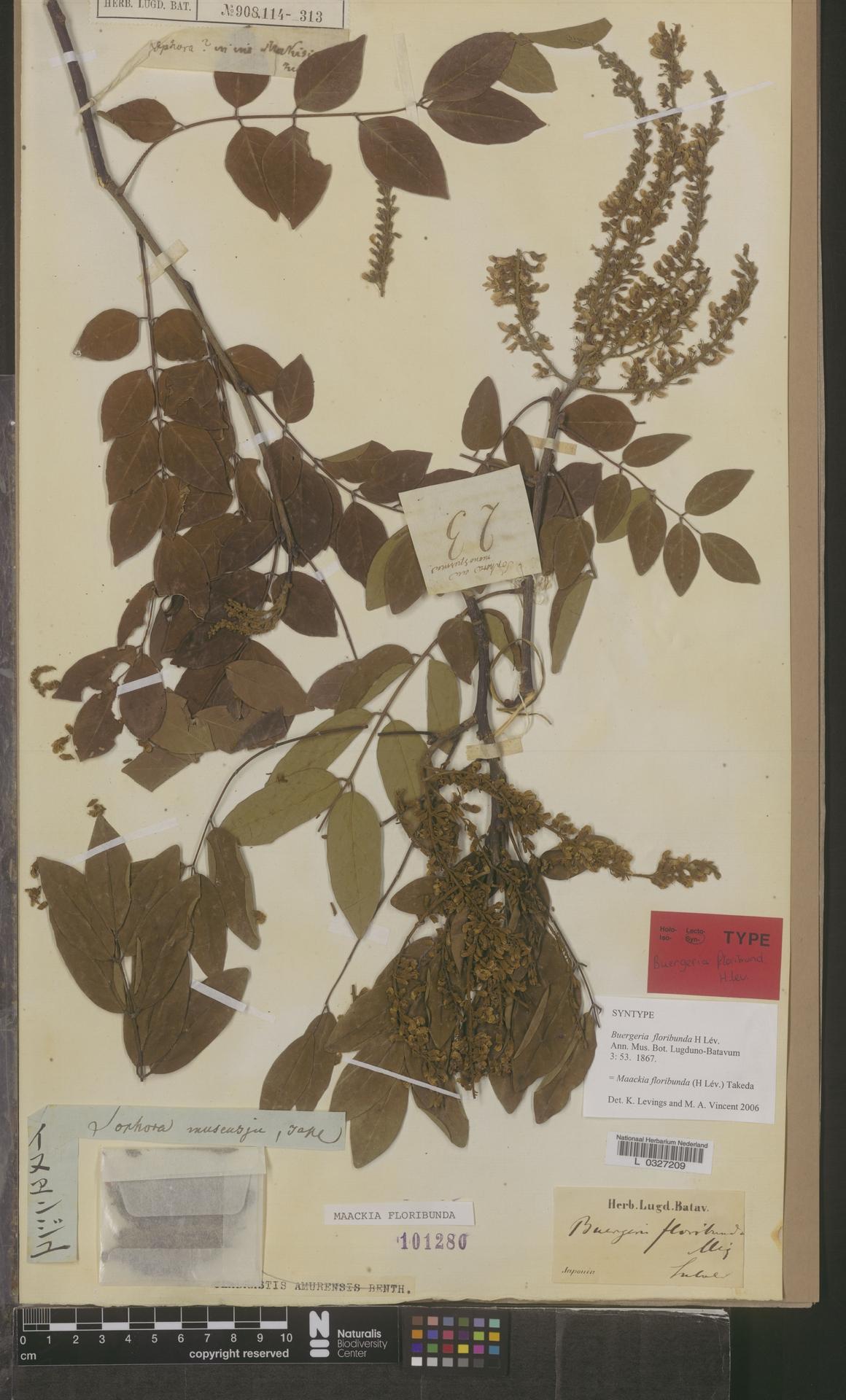 L  0327209 | Maackia floribunda Takeda