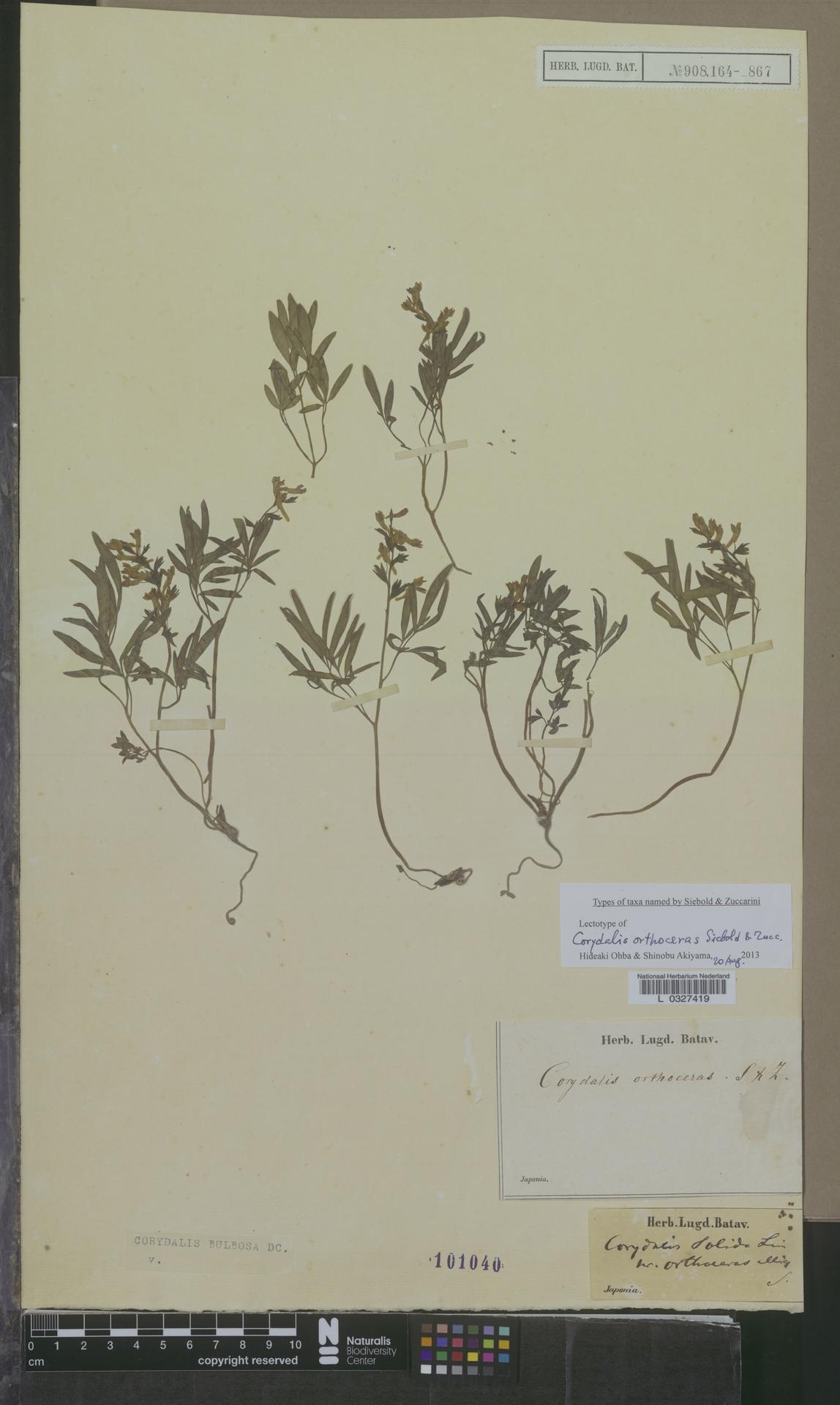 L  0327419 | Corydalis bulbosa DC.