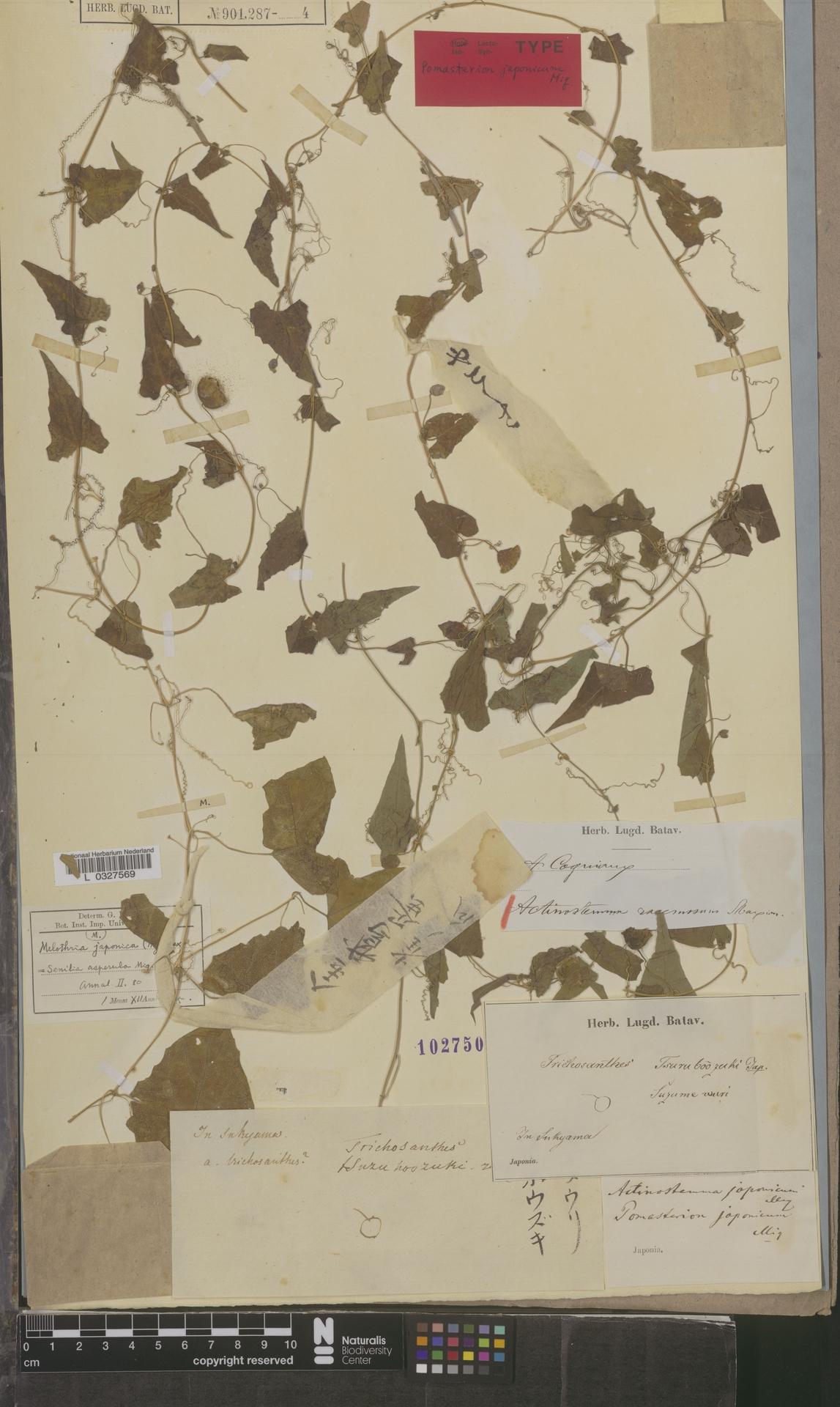 L  0327569 | Actinostemma racemosum Maxim.
