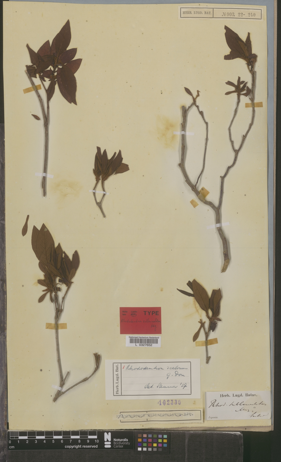 L  0327652 | Rhododendron scabrum G.Don