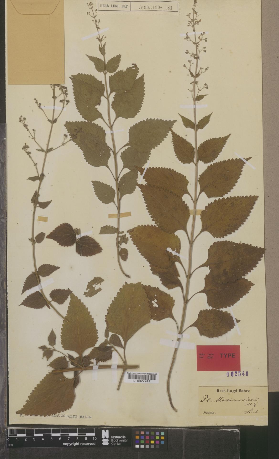 L  0327741 | Plectranthus glaucocalyx Maxim.