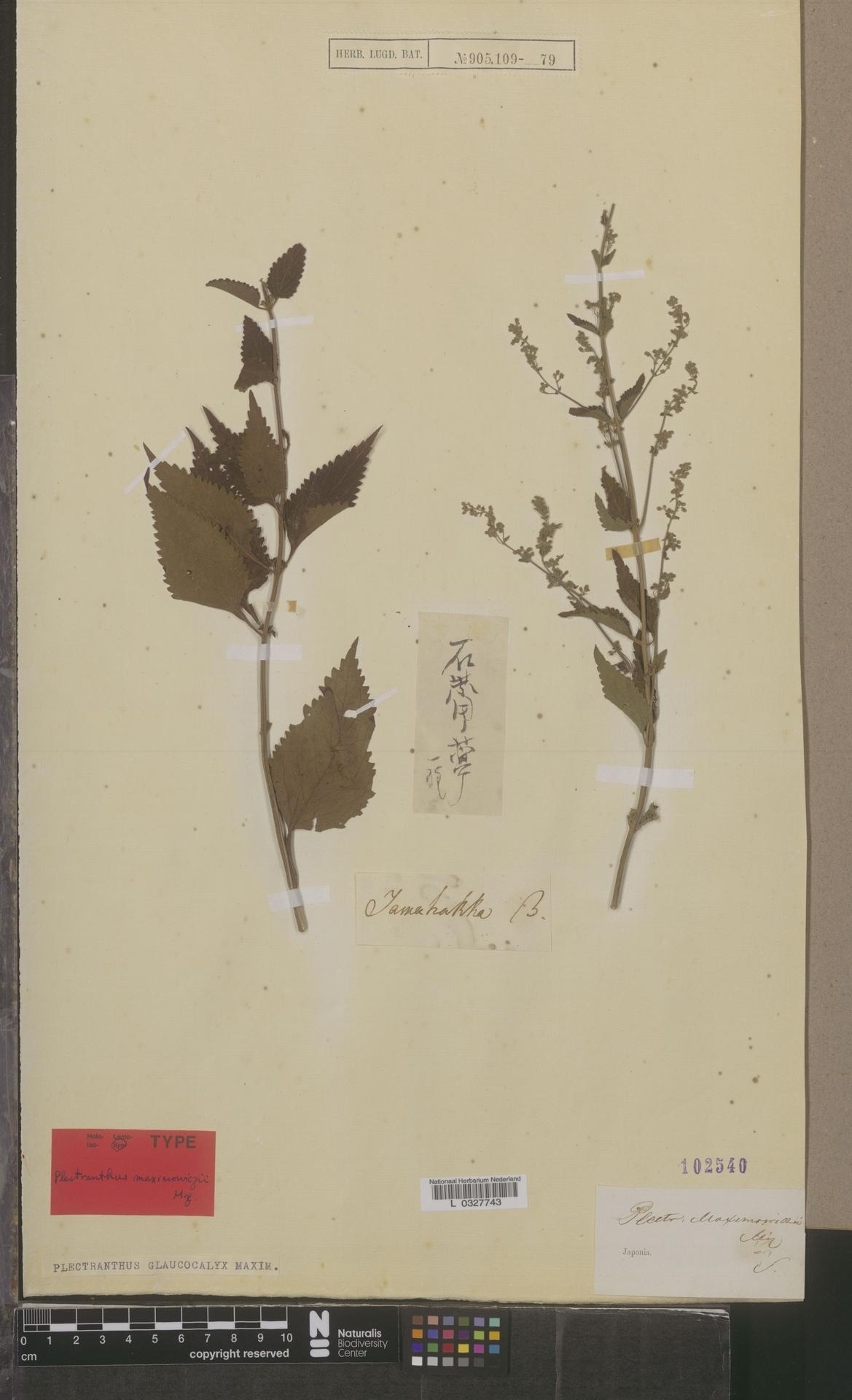 L  0327743   Plectranthus glaucocalyx Maxim.
