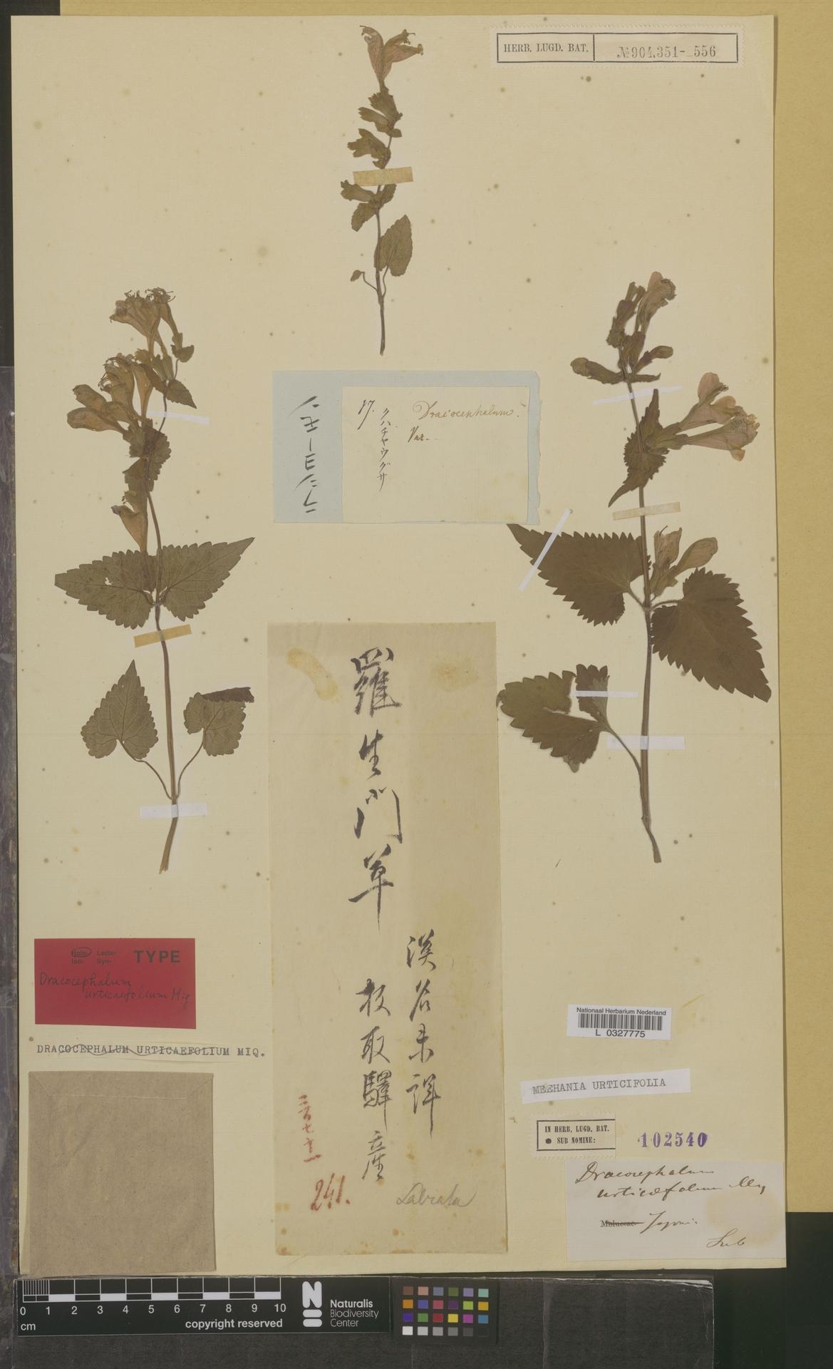 L  0327775 | Meehania urticifolia Makino