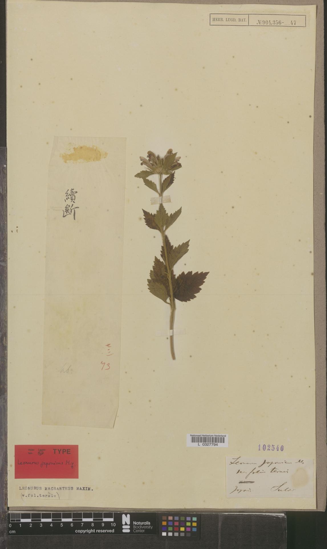L  0327794 | Leonurus macranthus Maxim.