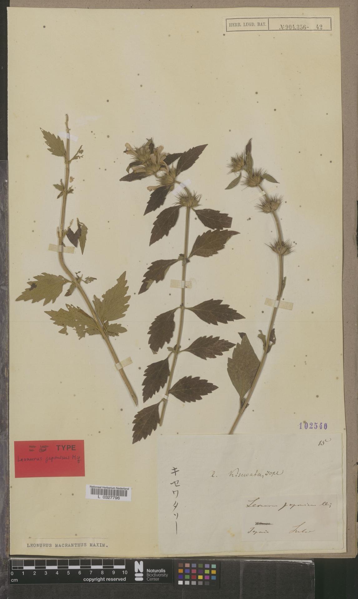 L  0327796 | Leonurus macranthus Maxim.