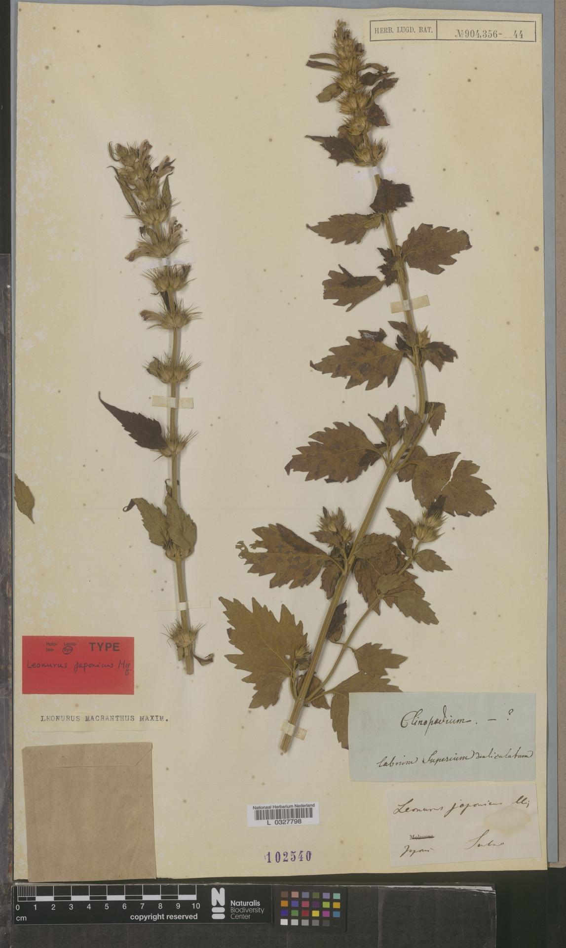 L  0327798 | Leonurus macranthus Maxim.