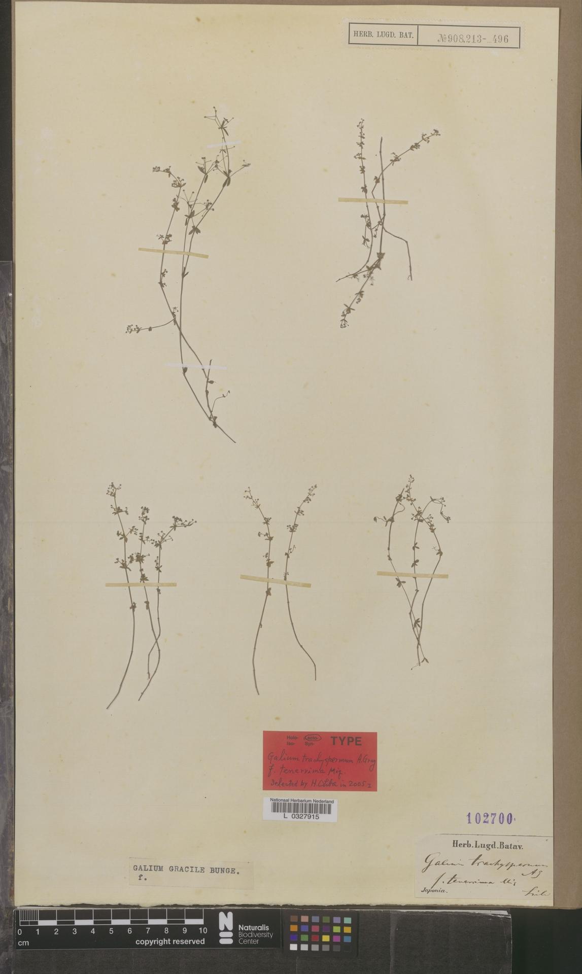L  0327915 | Galium gracile f. tenerrima Miq.