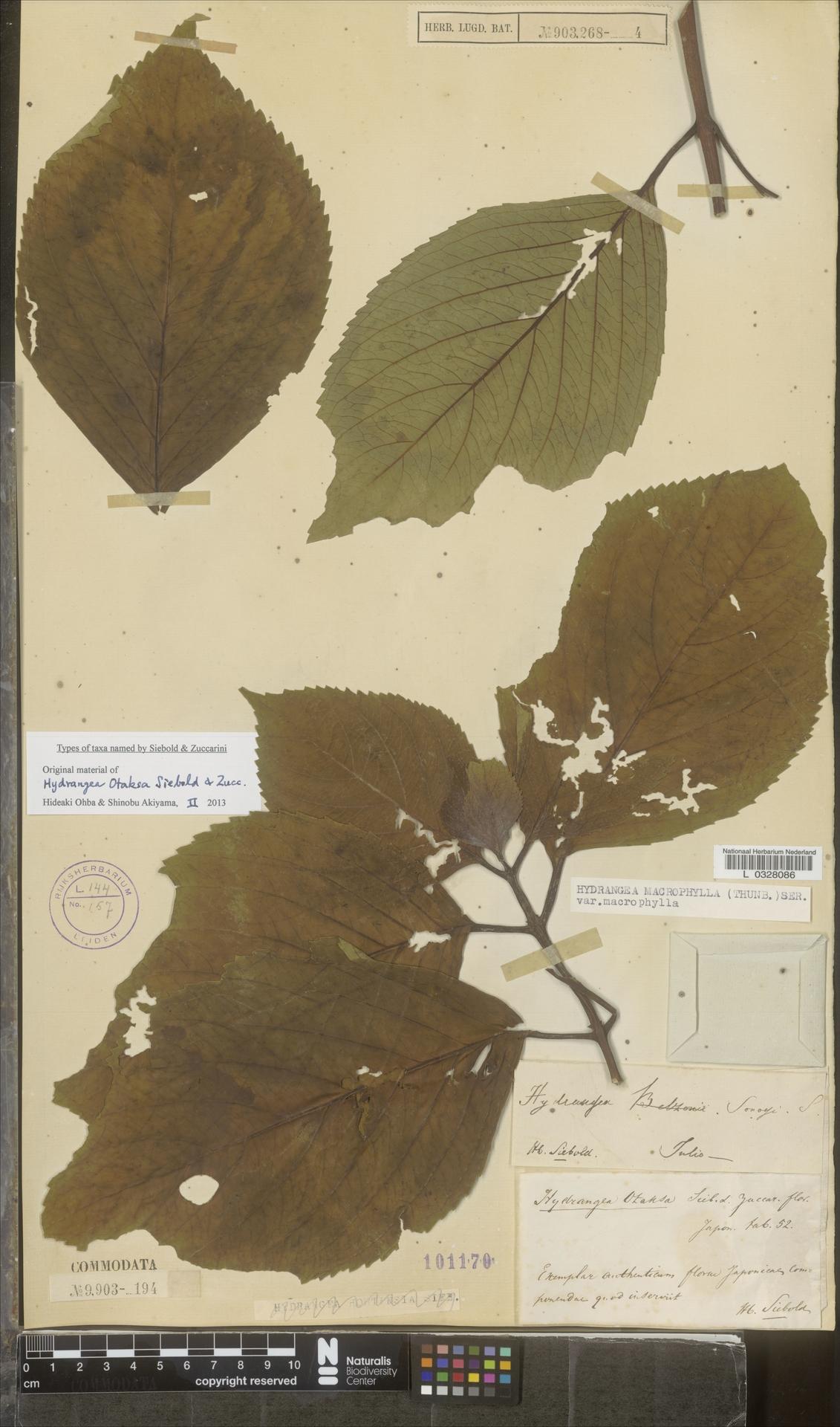 L  0328086 | Hydrangea macrophylla var. macrophylla