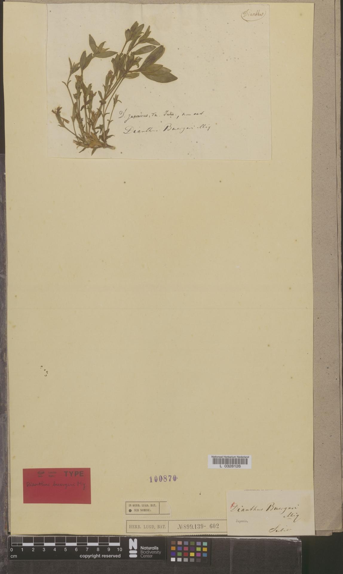 L  0328126 | Dianthus buergeri Miq.