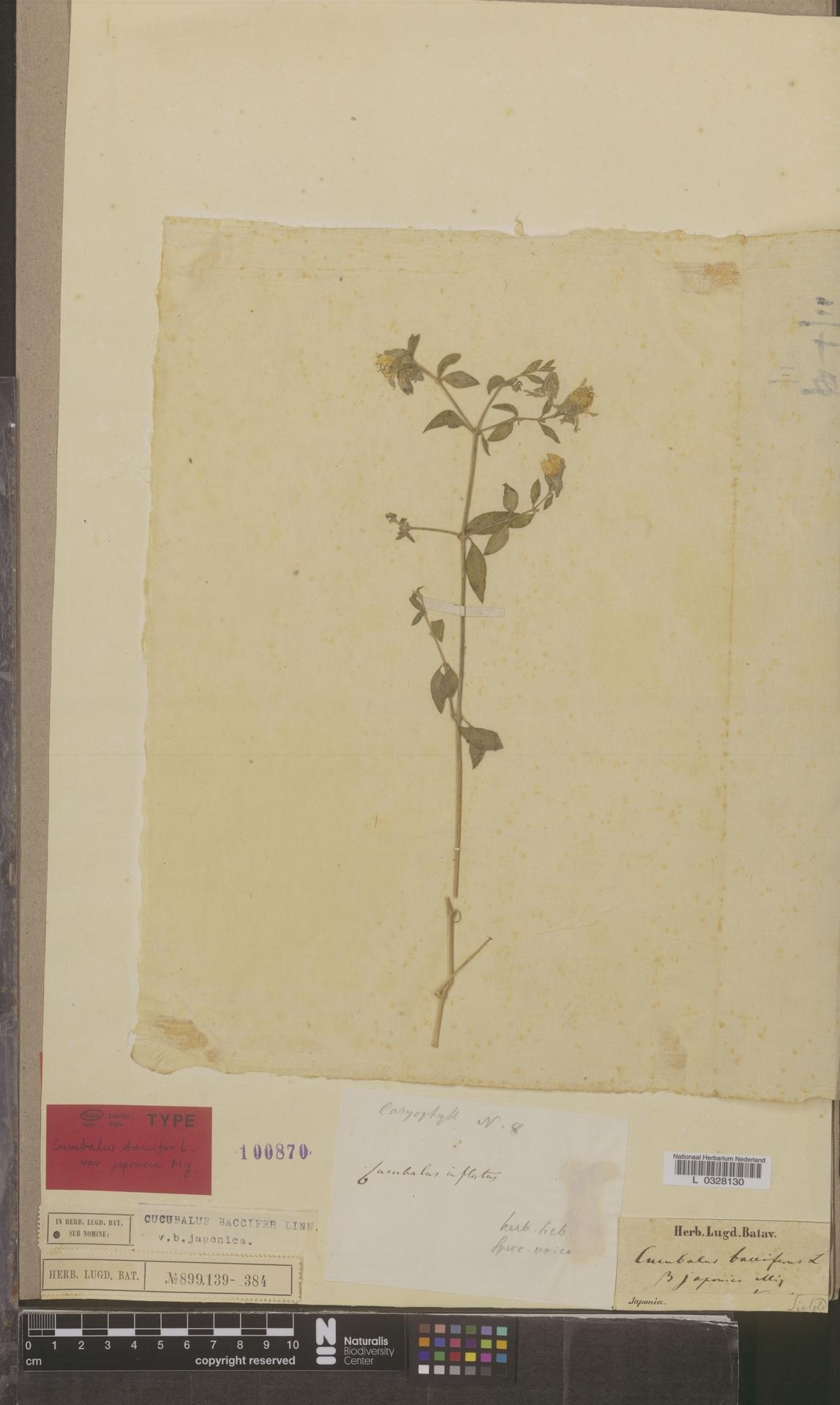 L  0328130 | Cucubalus baccifer var. japonica Miq.