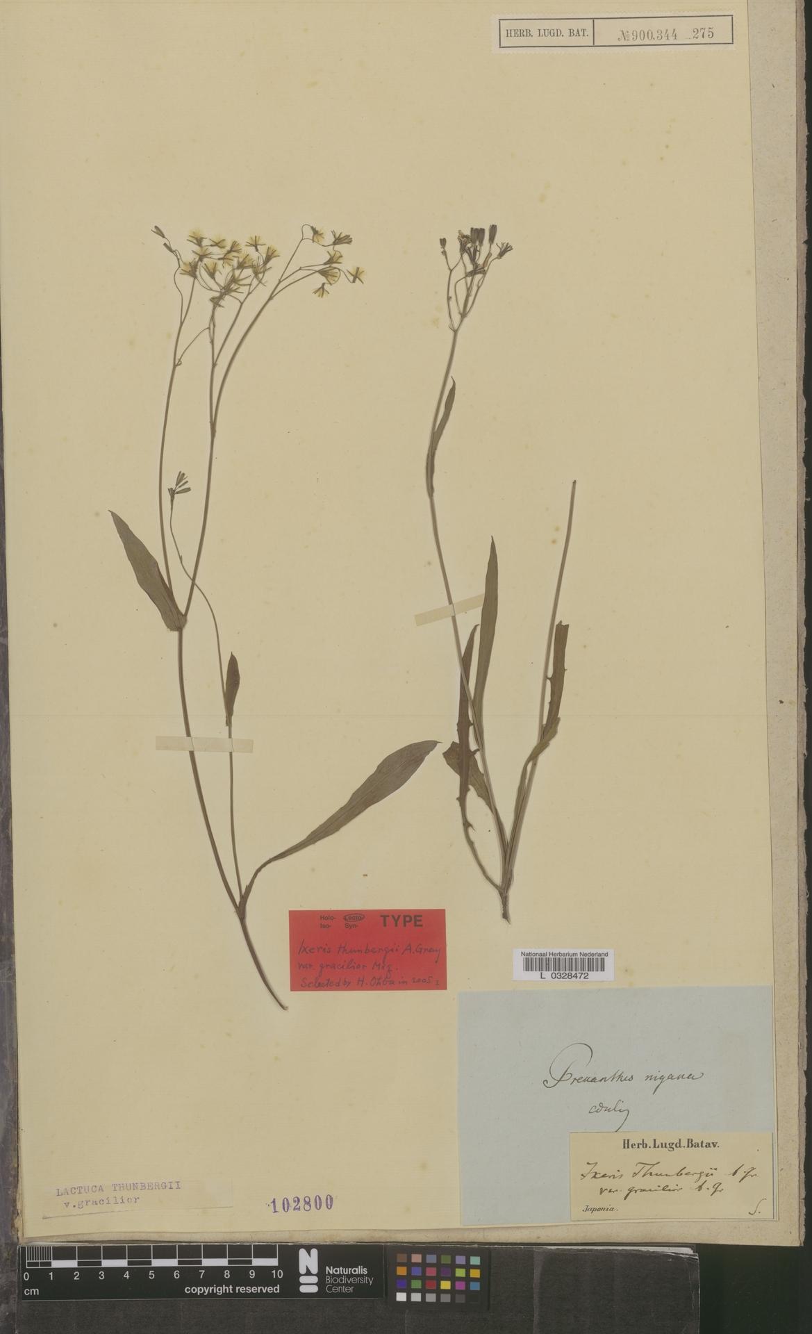 L  0328472 | Lactuca thunbergii var. gracilior