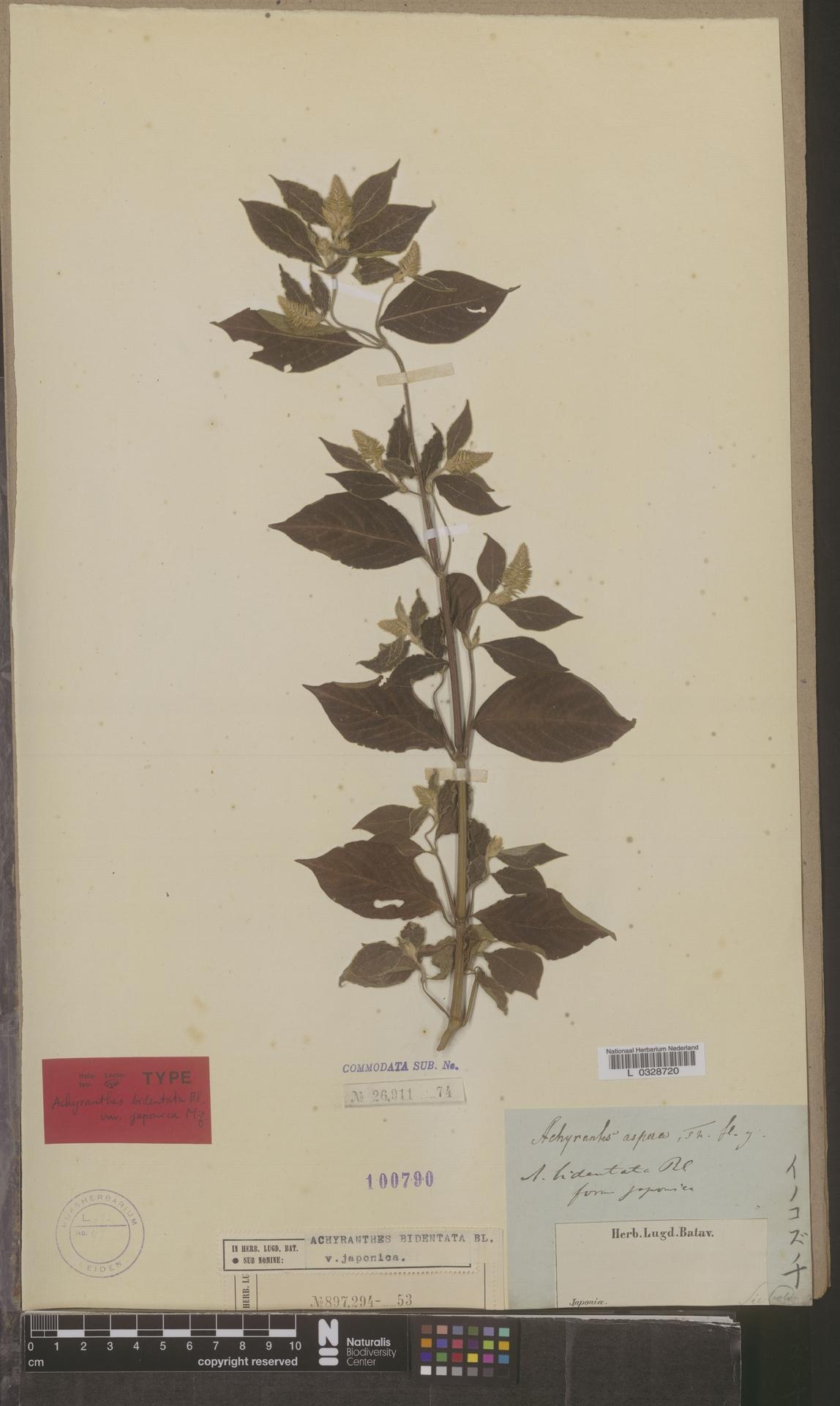 L  0328720 | Achyranthes bidentata var. japonica Miq.