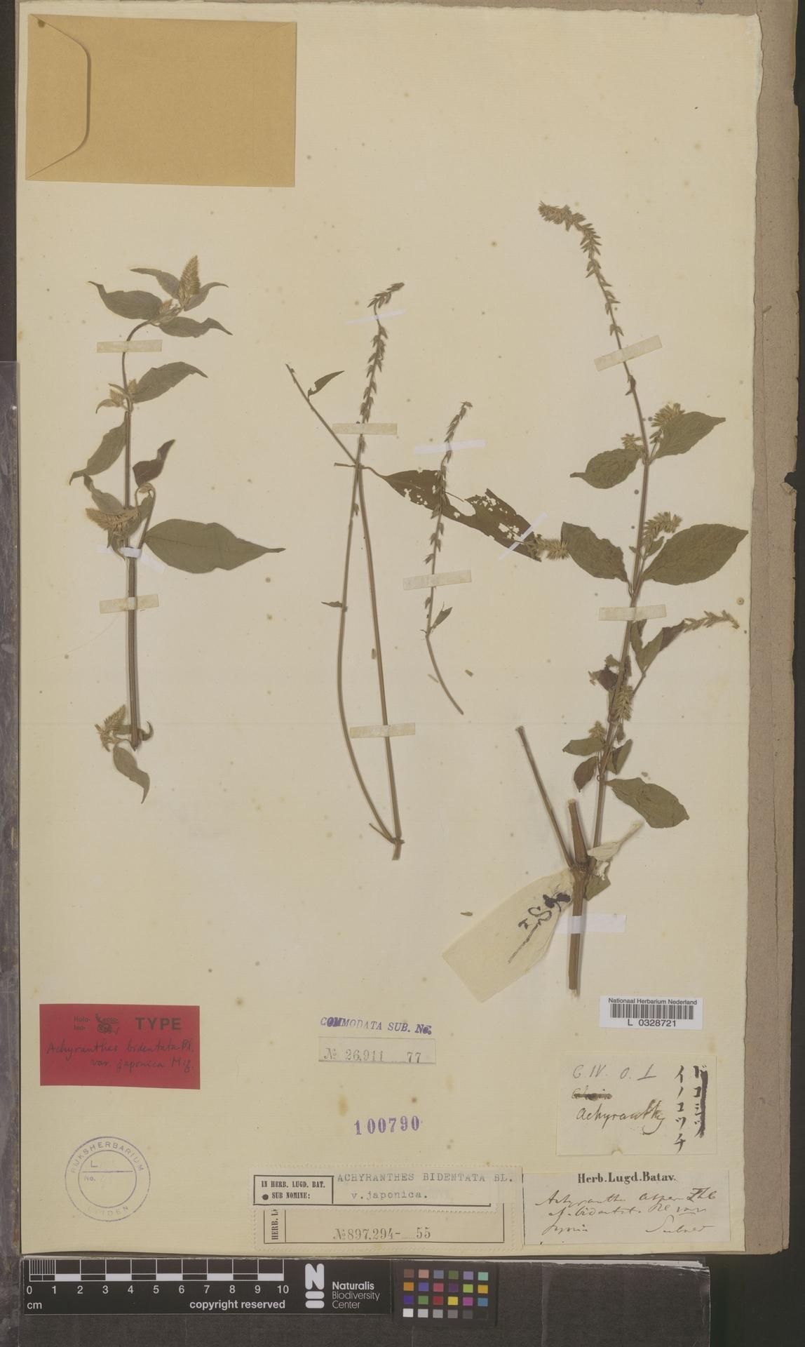 L  0328721 | Achyranthes bidentata var. japonica Miq.