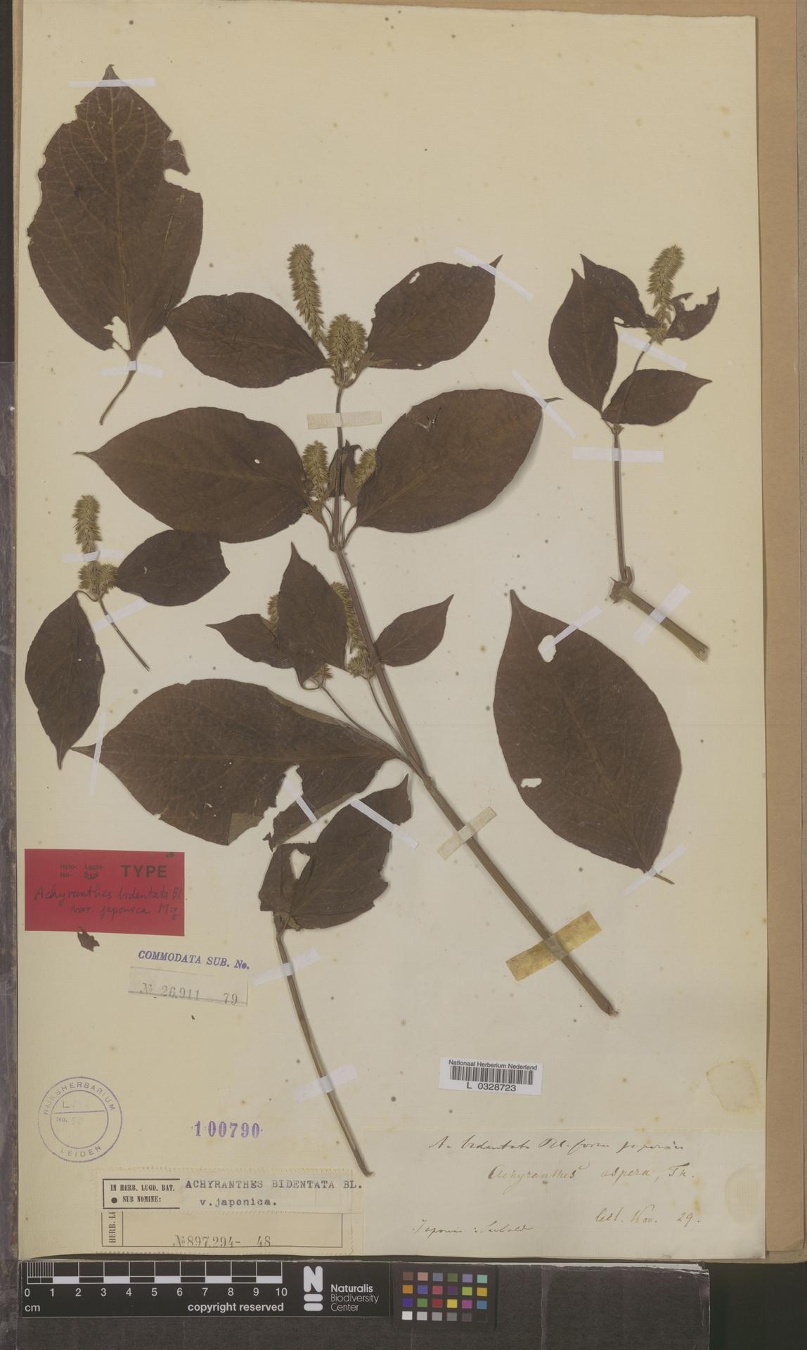 L  0328723 | Achyranthes bidentata var. japonica Miq.