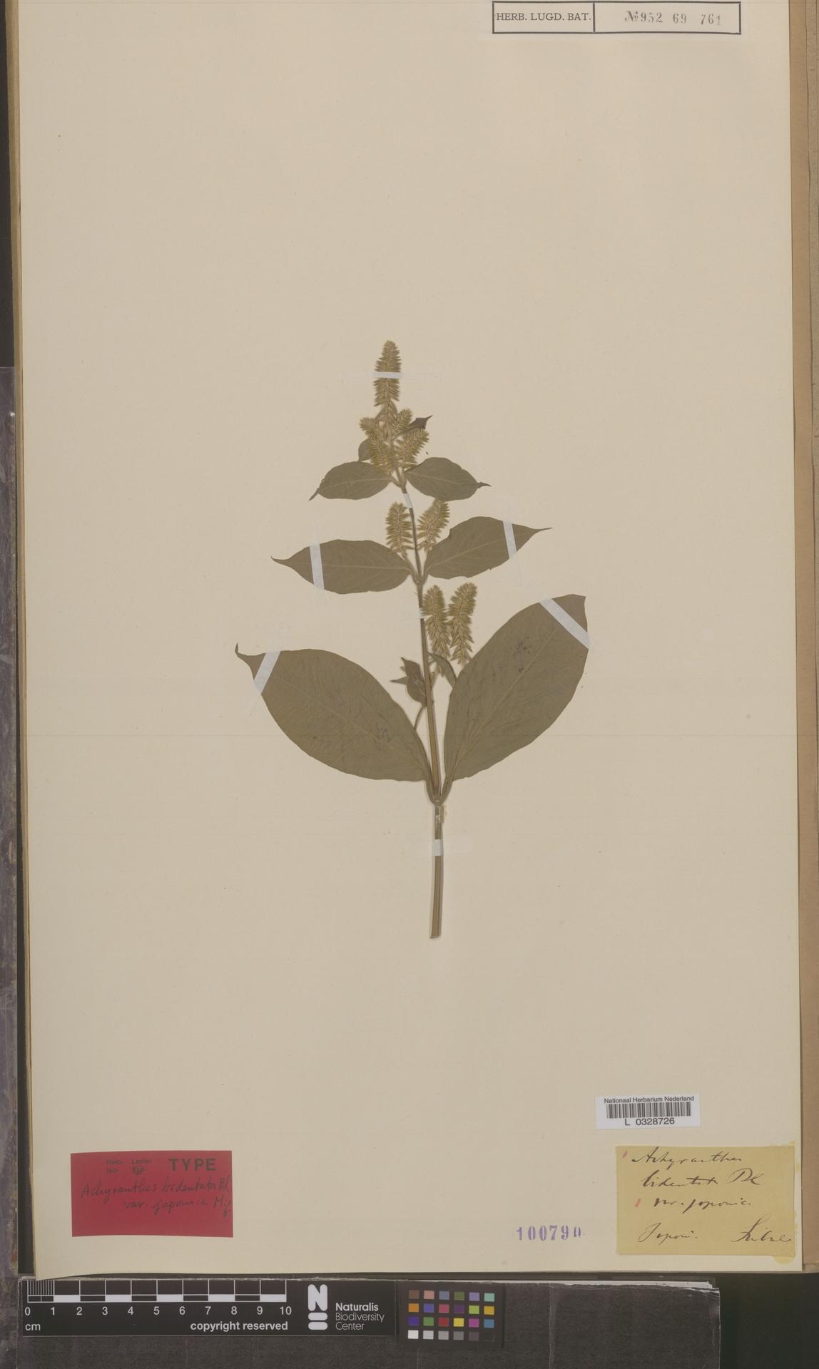 L  0328726 | Achyranthes bidentata var. japonica Miq.