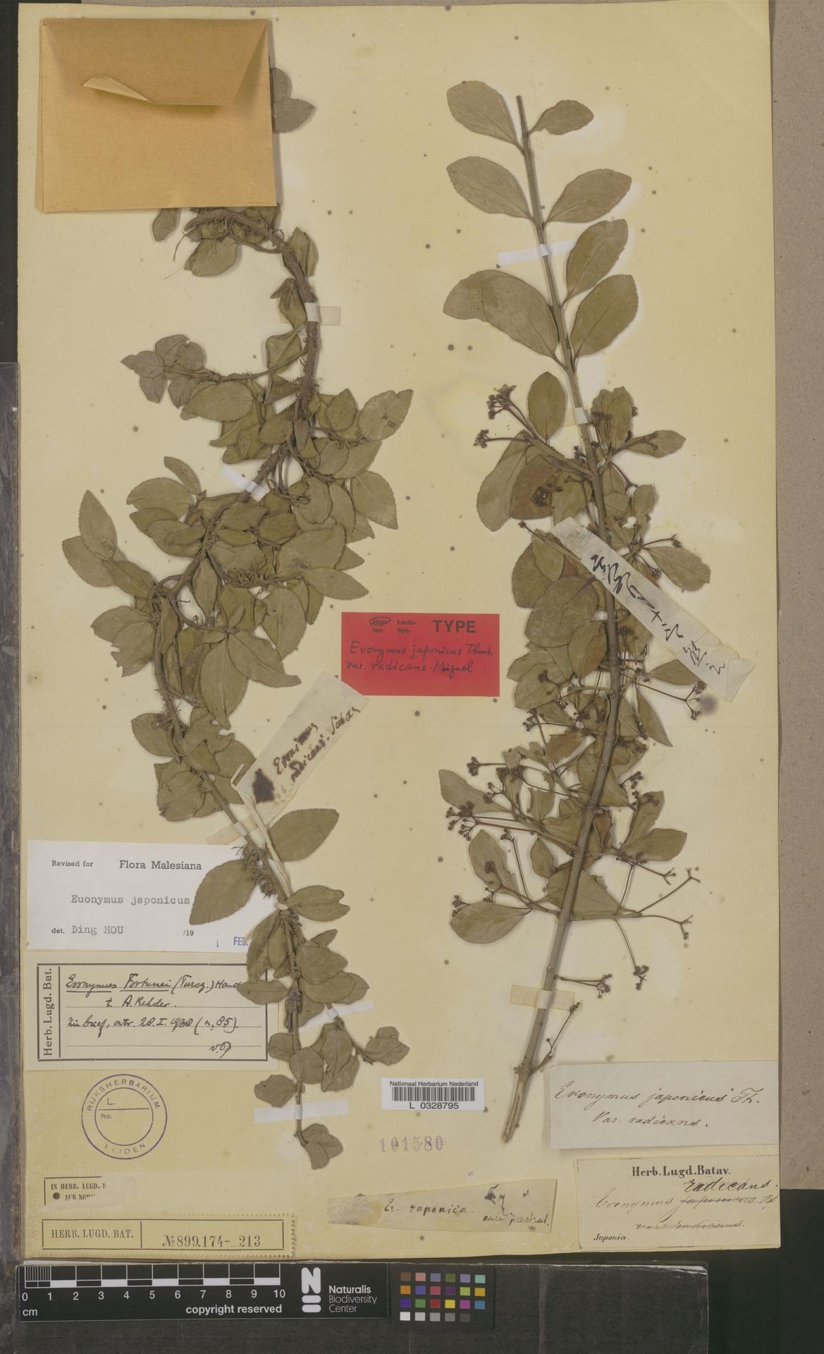 L  0328795   Euonymus japonicus Thunb.