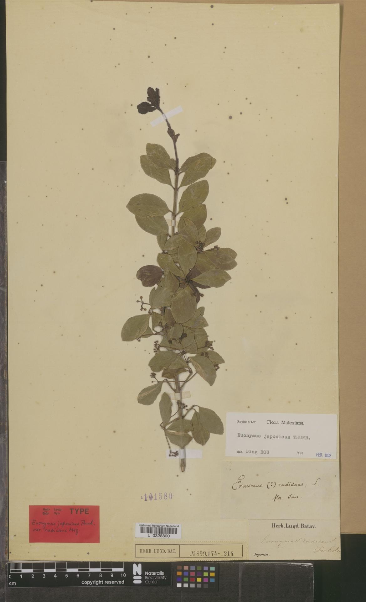 L  0328800 | Euonymus japonicus Thunb.