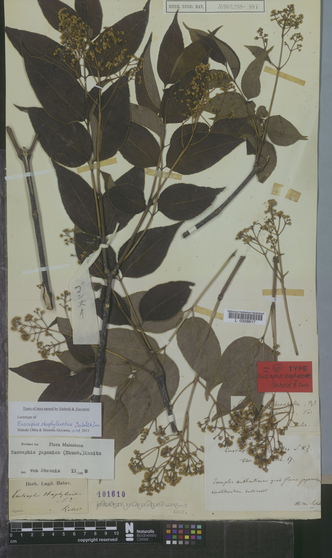 L  0328817 | Euscaphis japonica (Thunb.) Kanitz