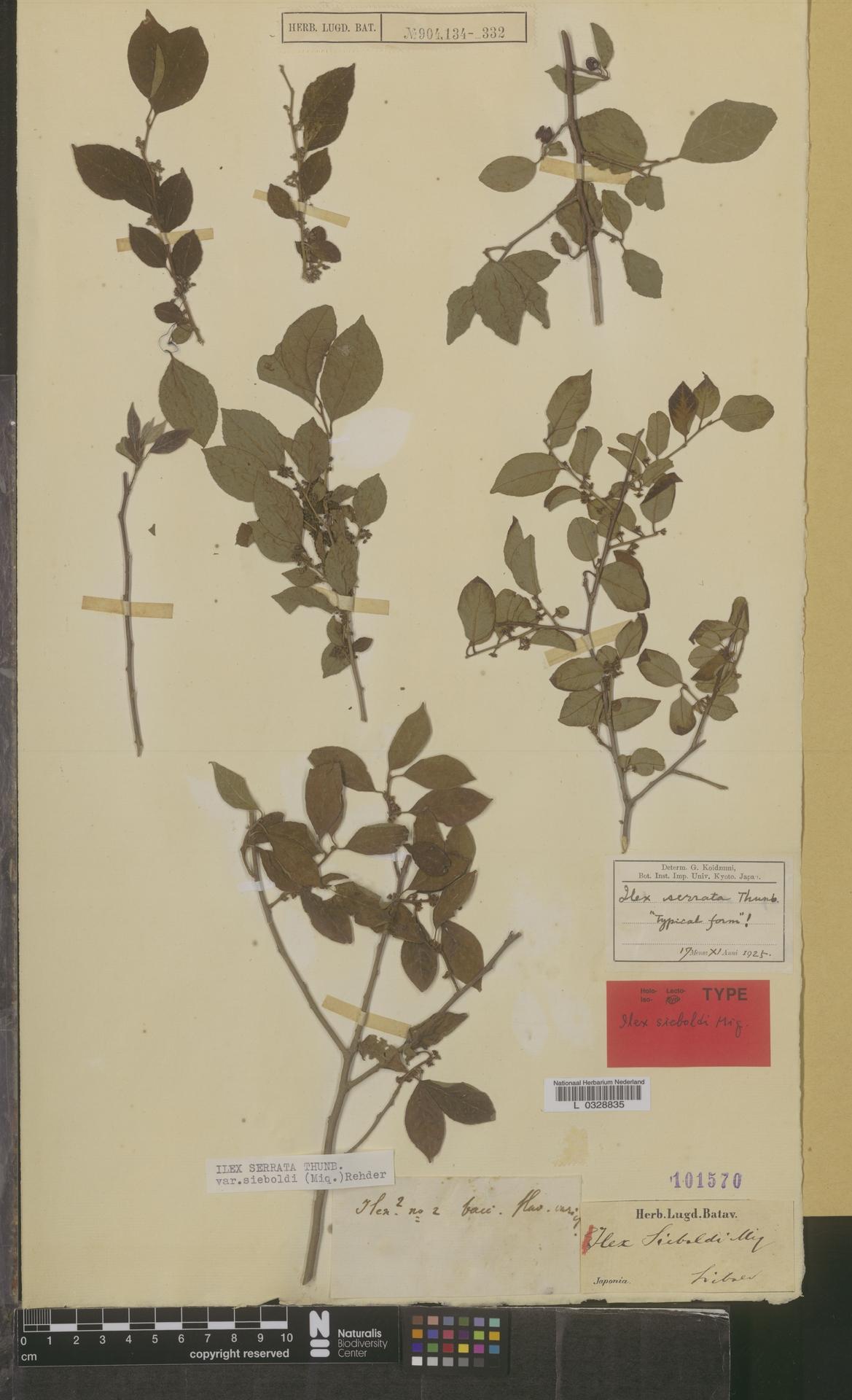 L  0328835 | Ilex serrata var. sieboldi (Miq.) Rehder
