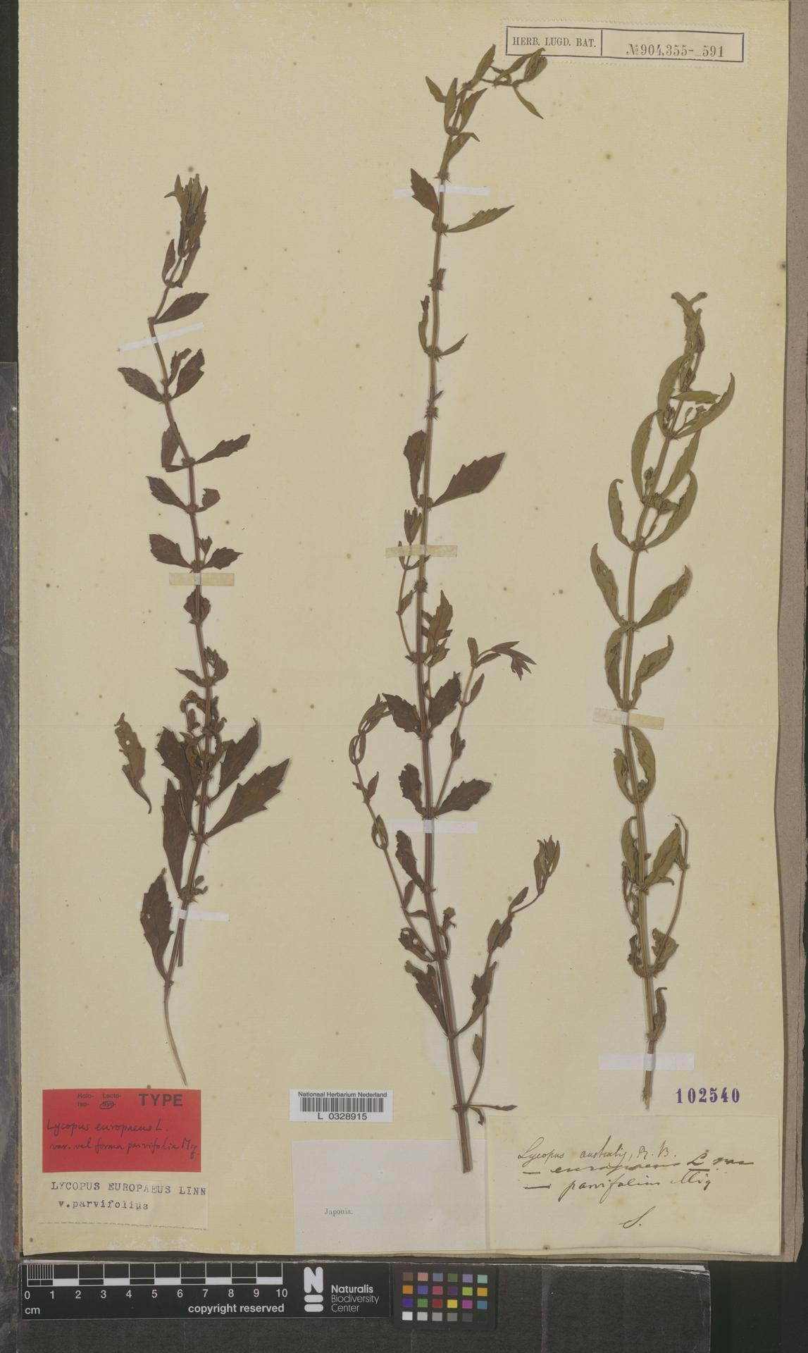 L  0328915   Lycopus europaeus var. parvifolius
