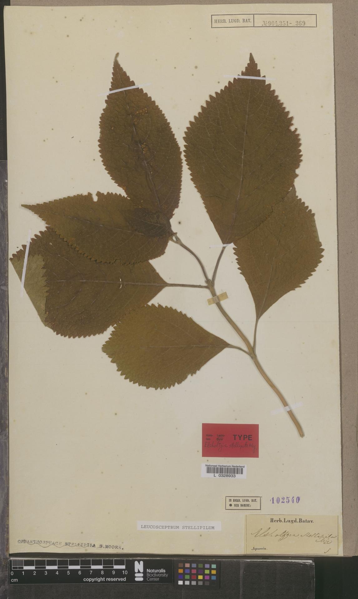 L  0328933 | Leucosceptrum stellipilum (Miq.) Kitam. & Murata