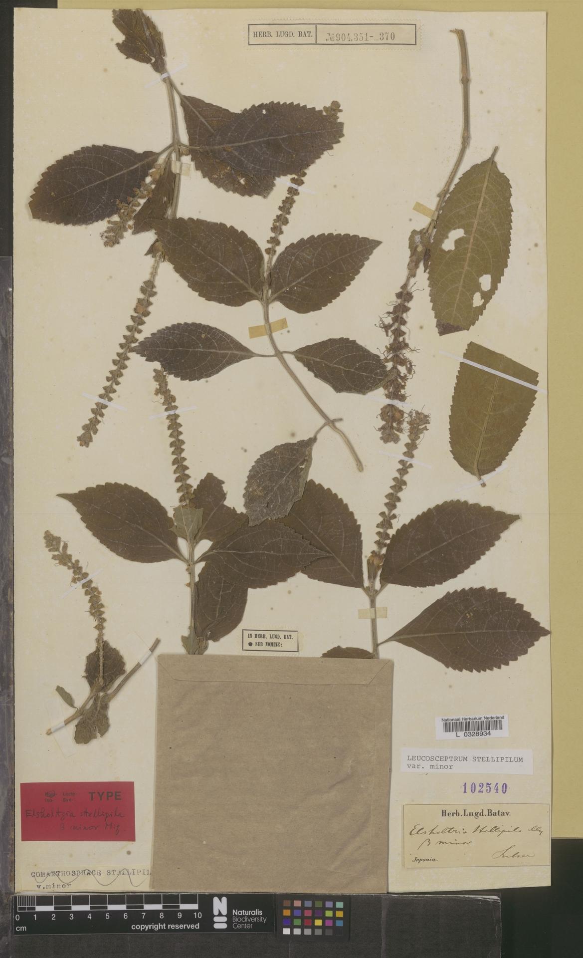 L  0328934 | Leucosceptrum stellipilum var. minor