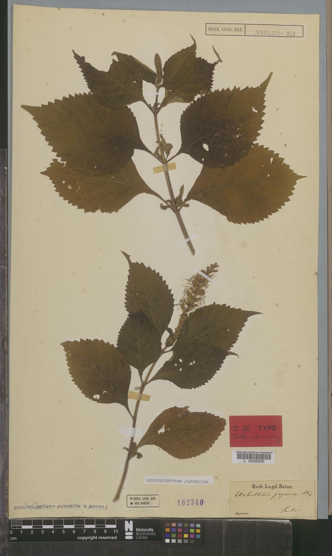 L  0328935 | Leucosceptrum japonicum (Miq.) Kitam. & Murata
