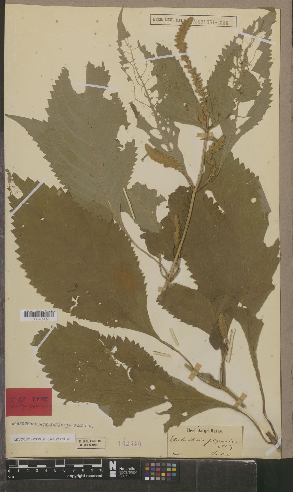 L  0328939 | Leucosceptrum japonicum (Miq.) Kitam. & Murata