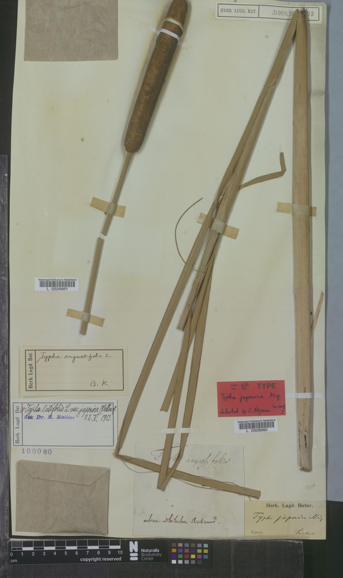 L  0328982 | Typha angustifolia L.