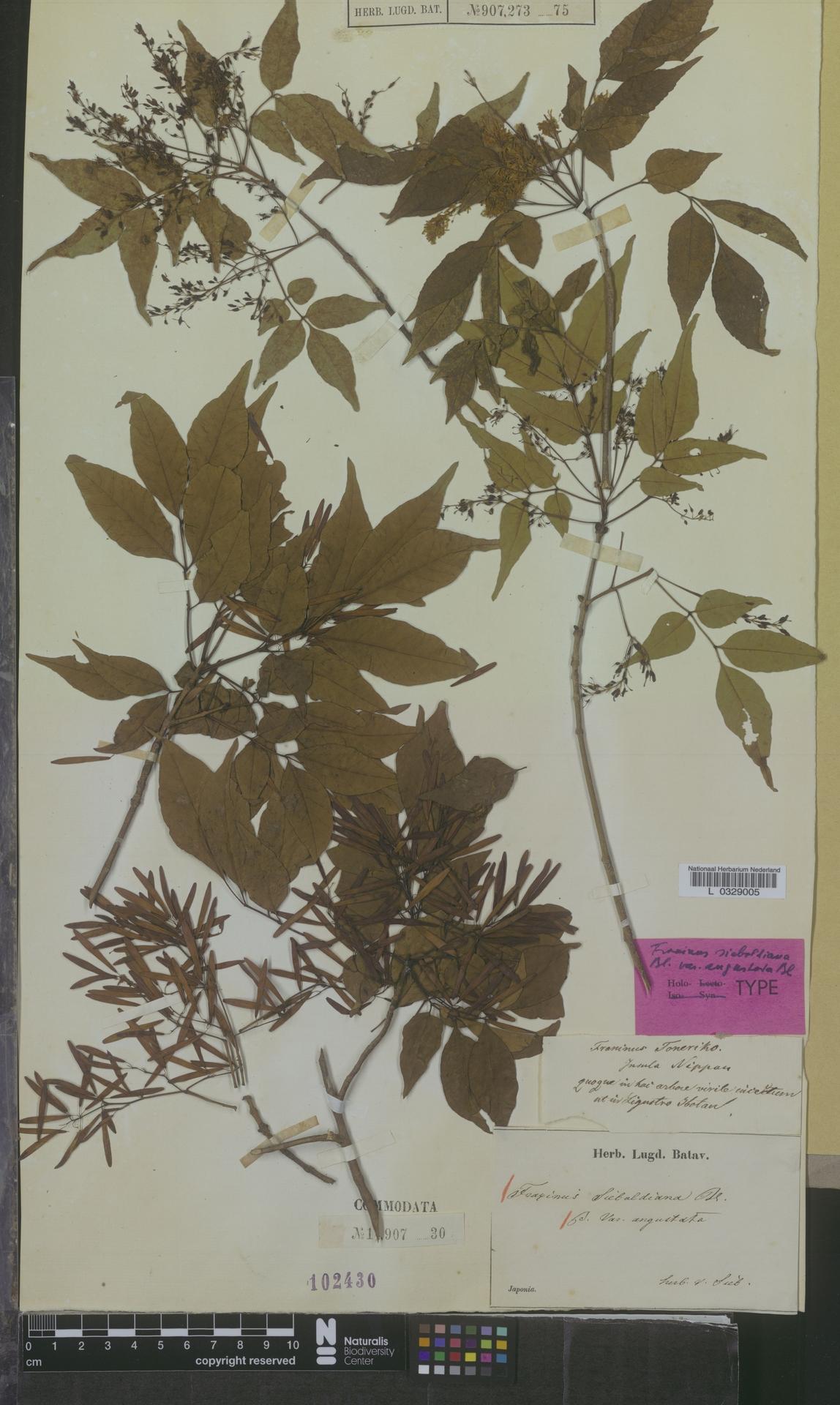 L  0329005 | Fraxinus sieboldiana var. angustata
