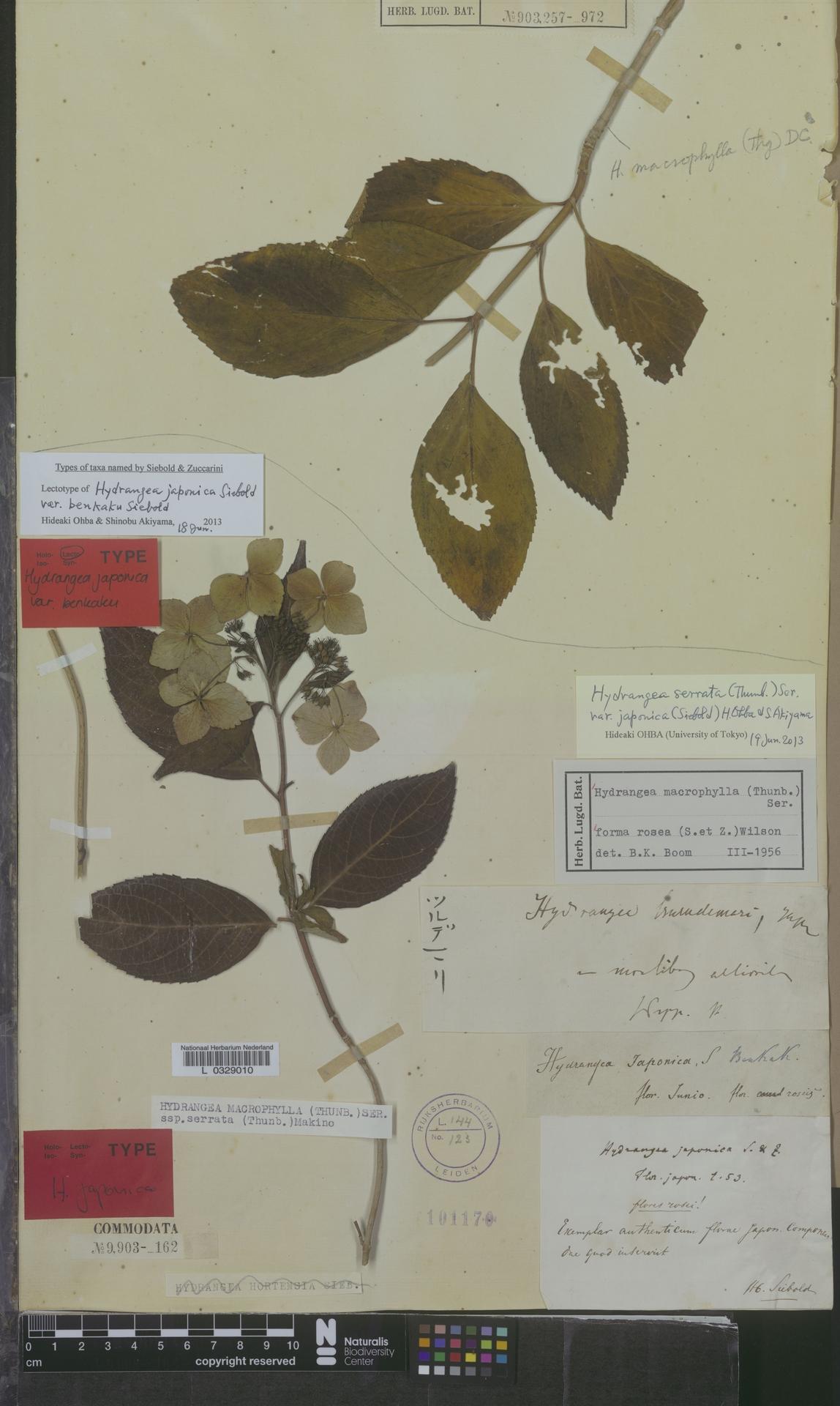 L  0329010 | Hydrangea serrata var. japonica (Siebold) H.Ohba & S.Akiyama