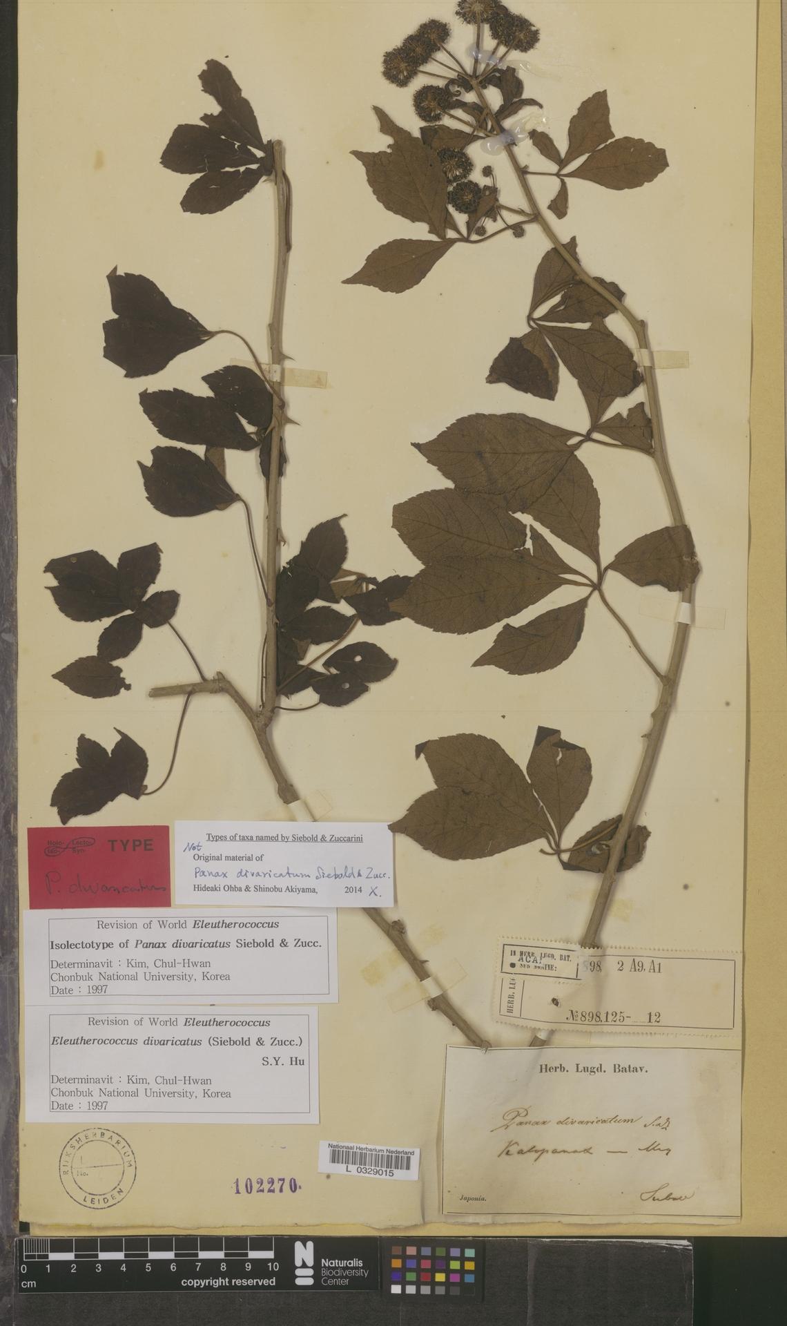 L  0329015 | Eleutherococcus divaricatus (Siebold & Zucc.) S.Y.Hu