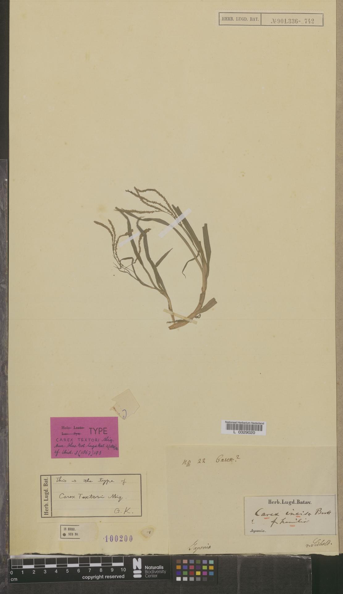 L  0329020   Carex incisa f. humilior