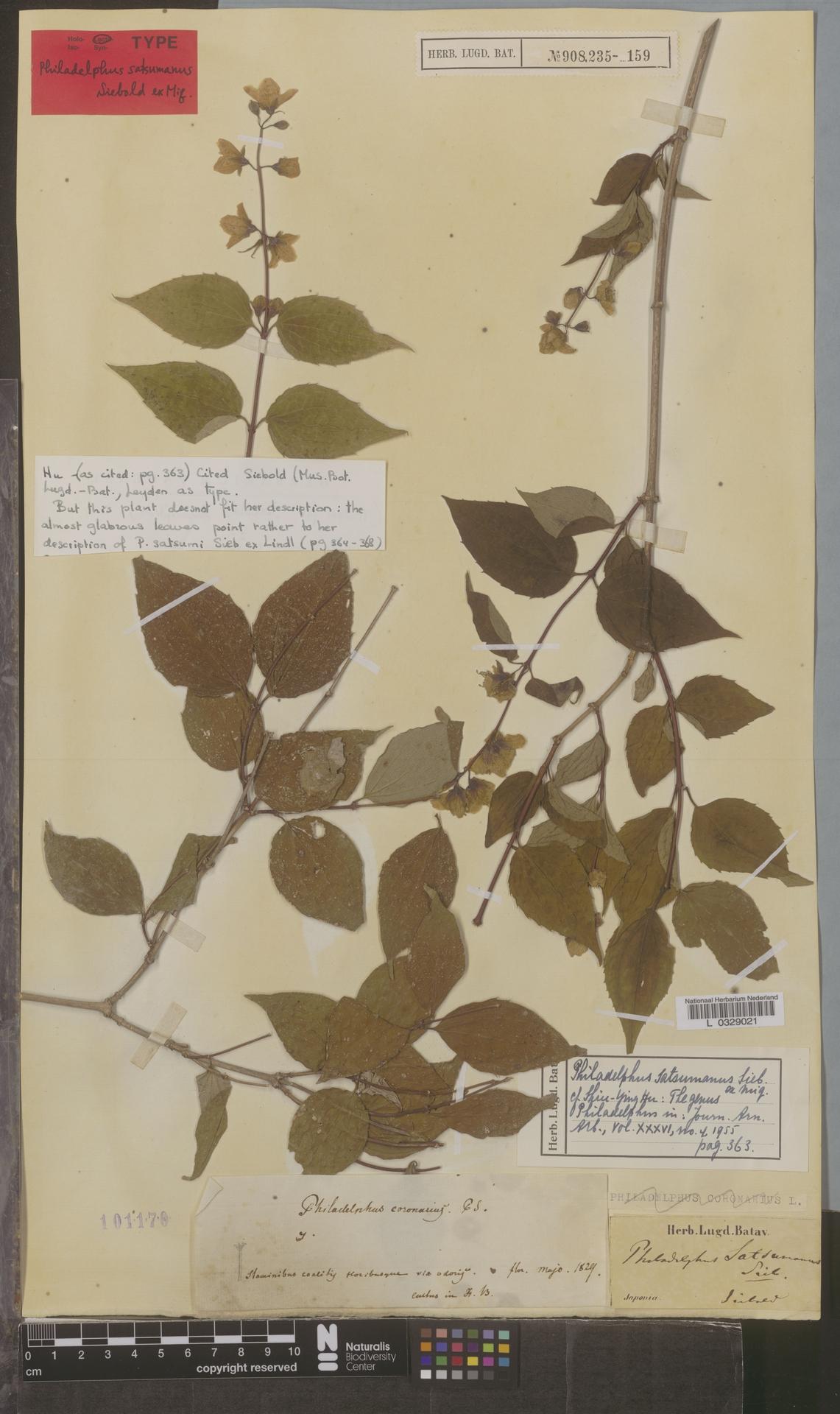 L  0329021 | Philadelphus satsumanus Siebold ex Miq.
