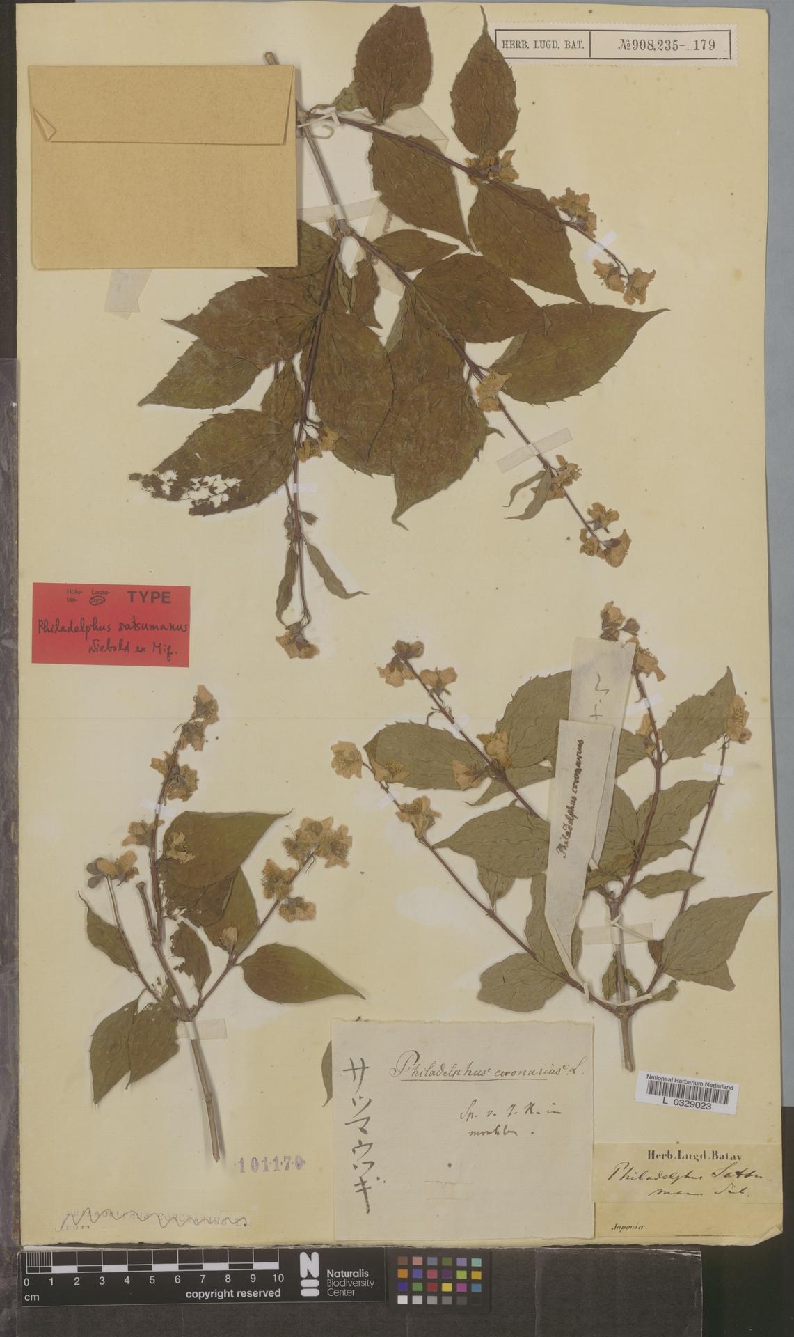 L  0329023 | Philadelphus satsumanus Siebold ex Miq.