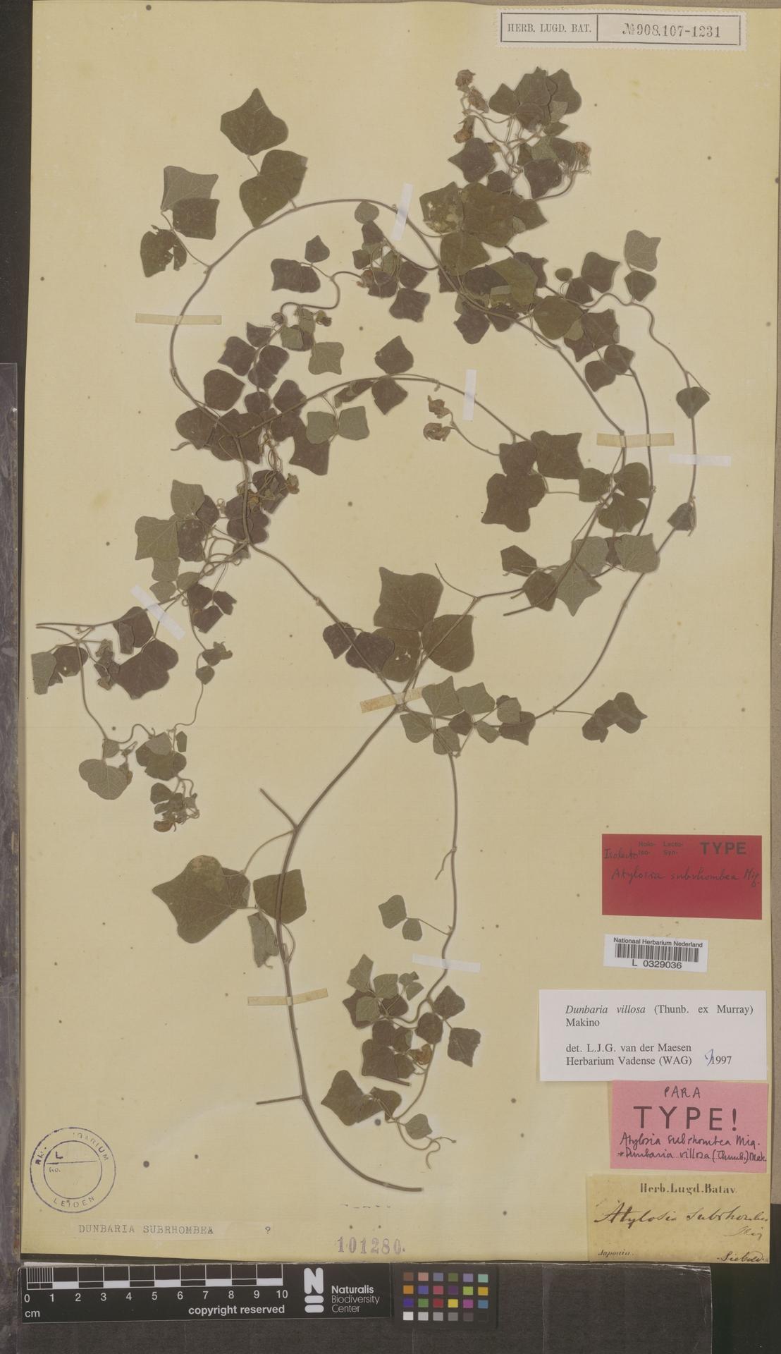 L  0329036 | Dunbaria villosa (Thunb. ex Murray) Makino