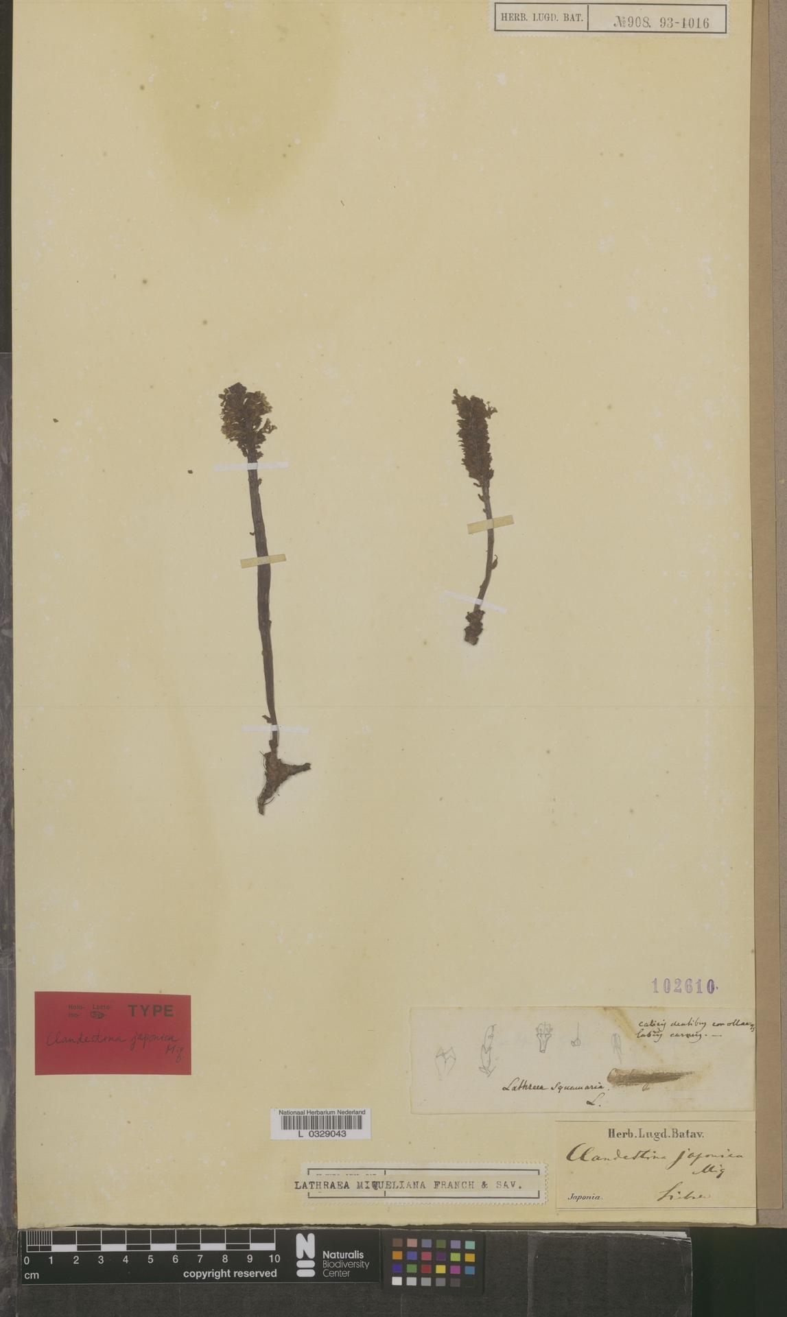 L  0329043 | Lathraea miqueliana Franch. & Sav.