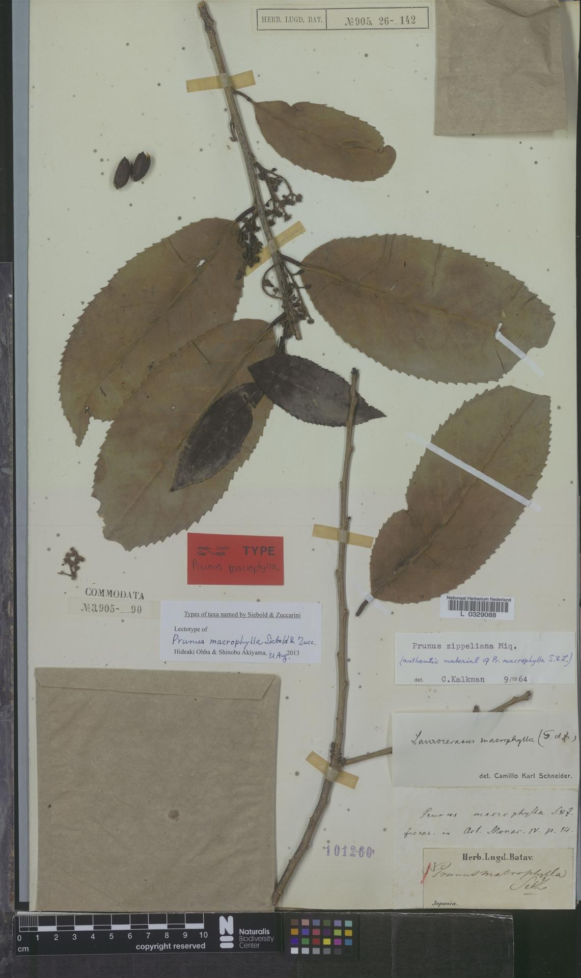 L  0329088 | Prunus zippeliana Miq.