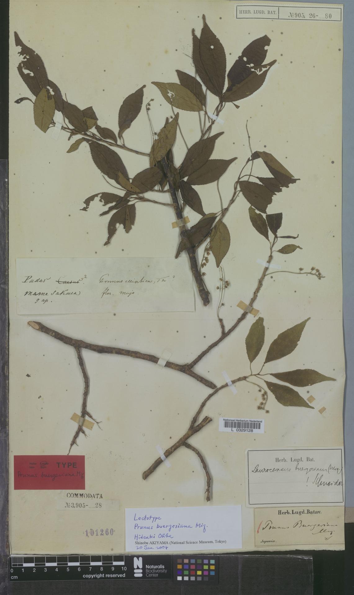 L  0329128 | Prunus buergeriana Miq.