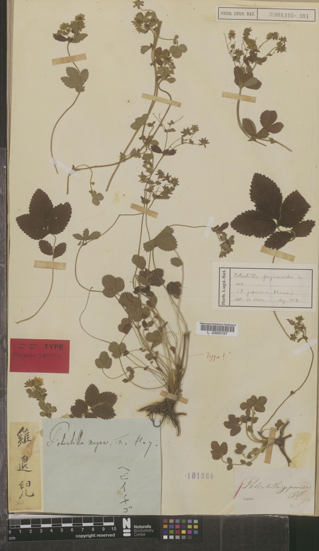 L  0329157   Potentilla fragarioides L.