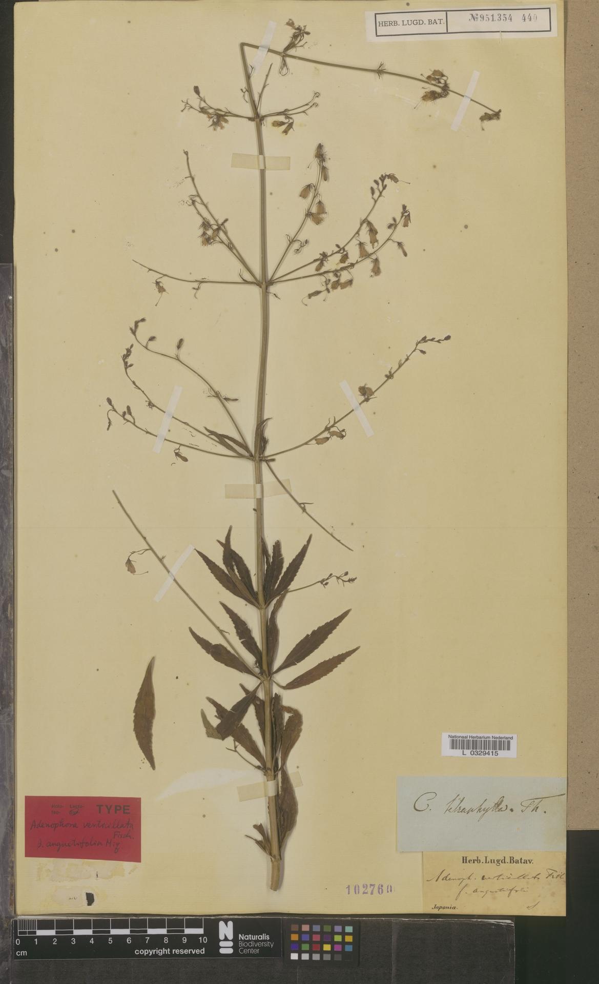 L  0329415 | Adenophora verticillata f. angustifolia Miq.