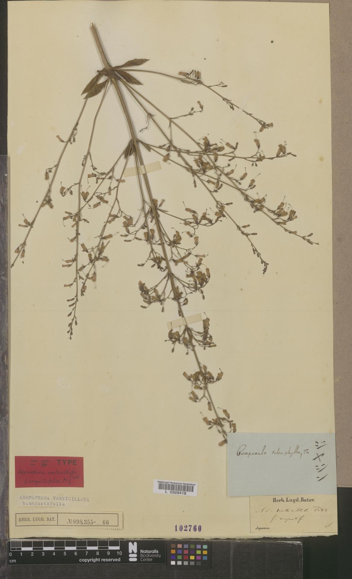 L  0329418 | Adenophora verticillata f. angustifolia Miq.